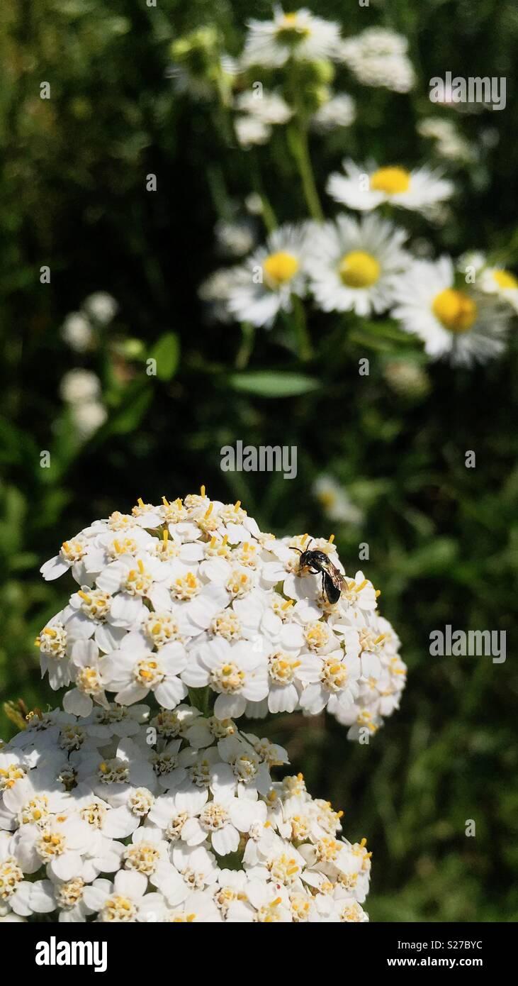 Heriades truncorum on Achillea millefolium - Stock Image