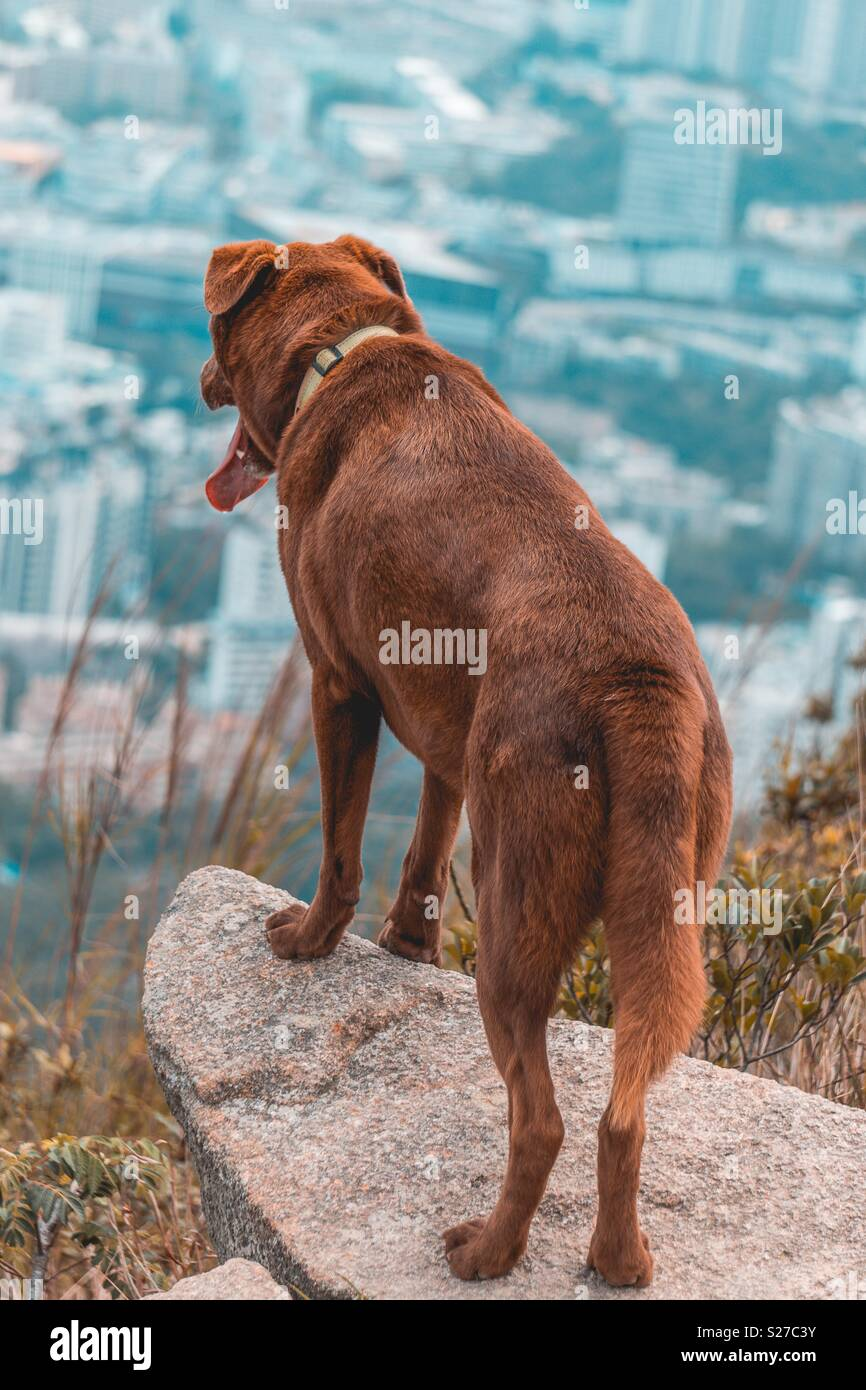 Brown Dog over looking Hong Kong city, China after having climbed a mountain. Dog walking - Stock Image