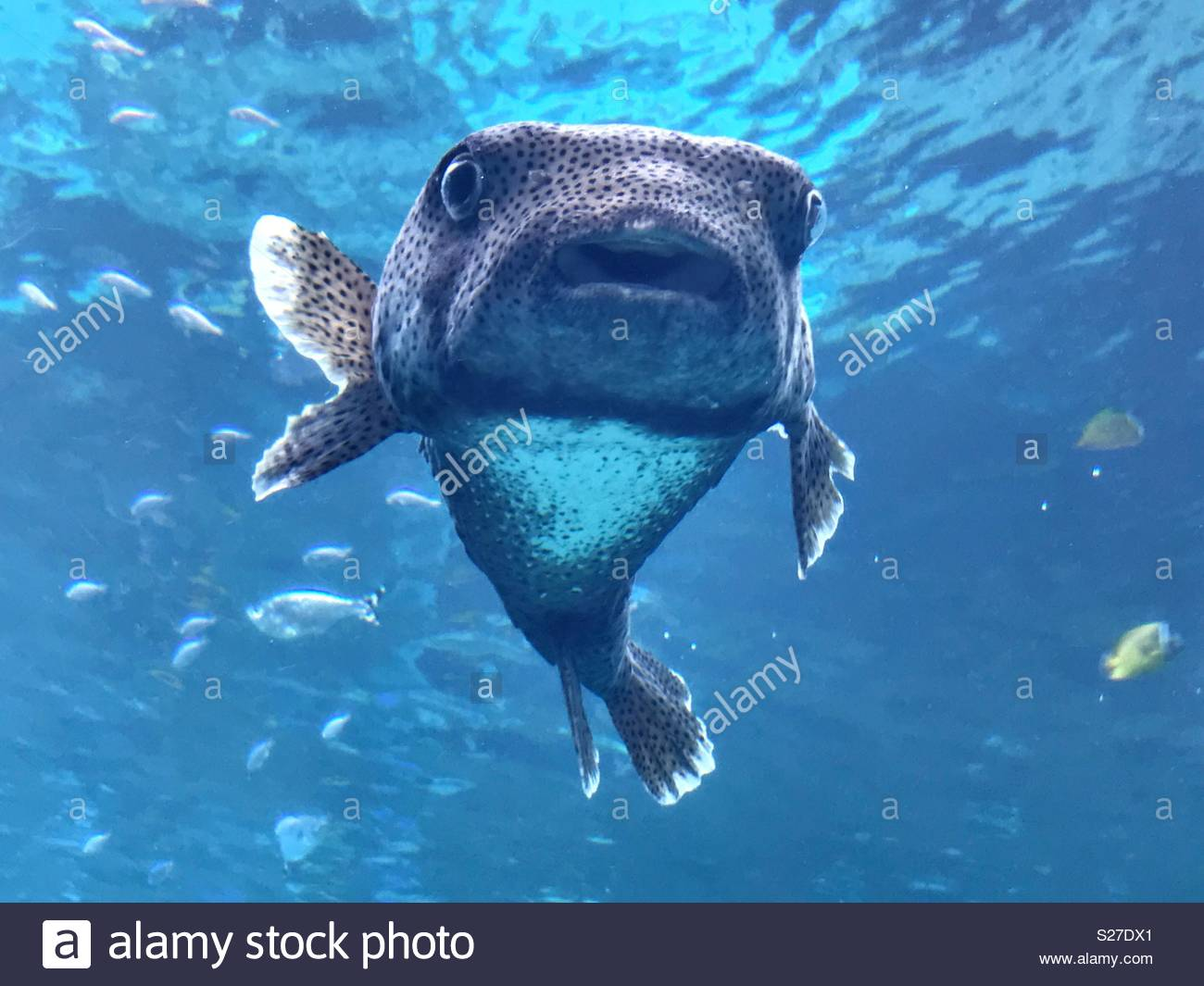 Puffer fish - Stock Image