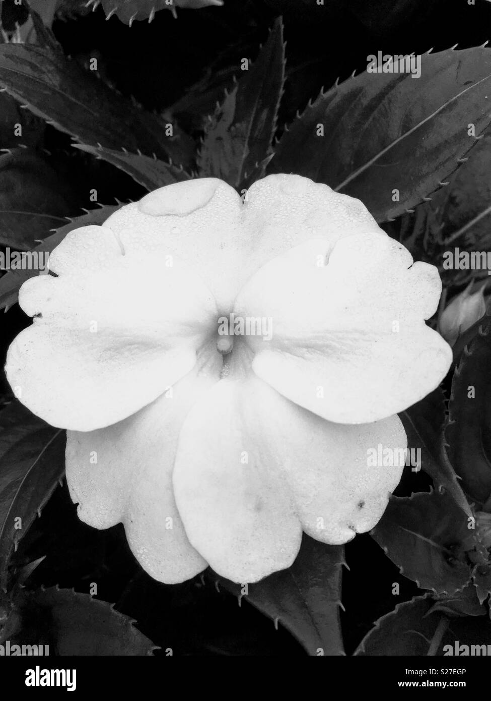 White flower with spiky leaves in black white stock photo white flower with spiky leaves in black white mightylinksfo