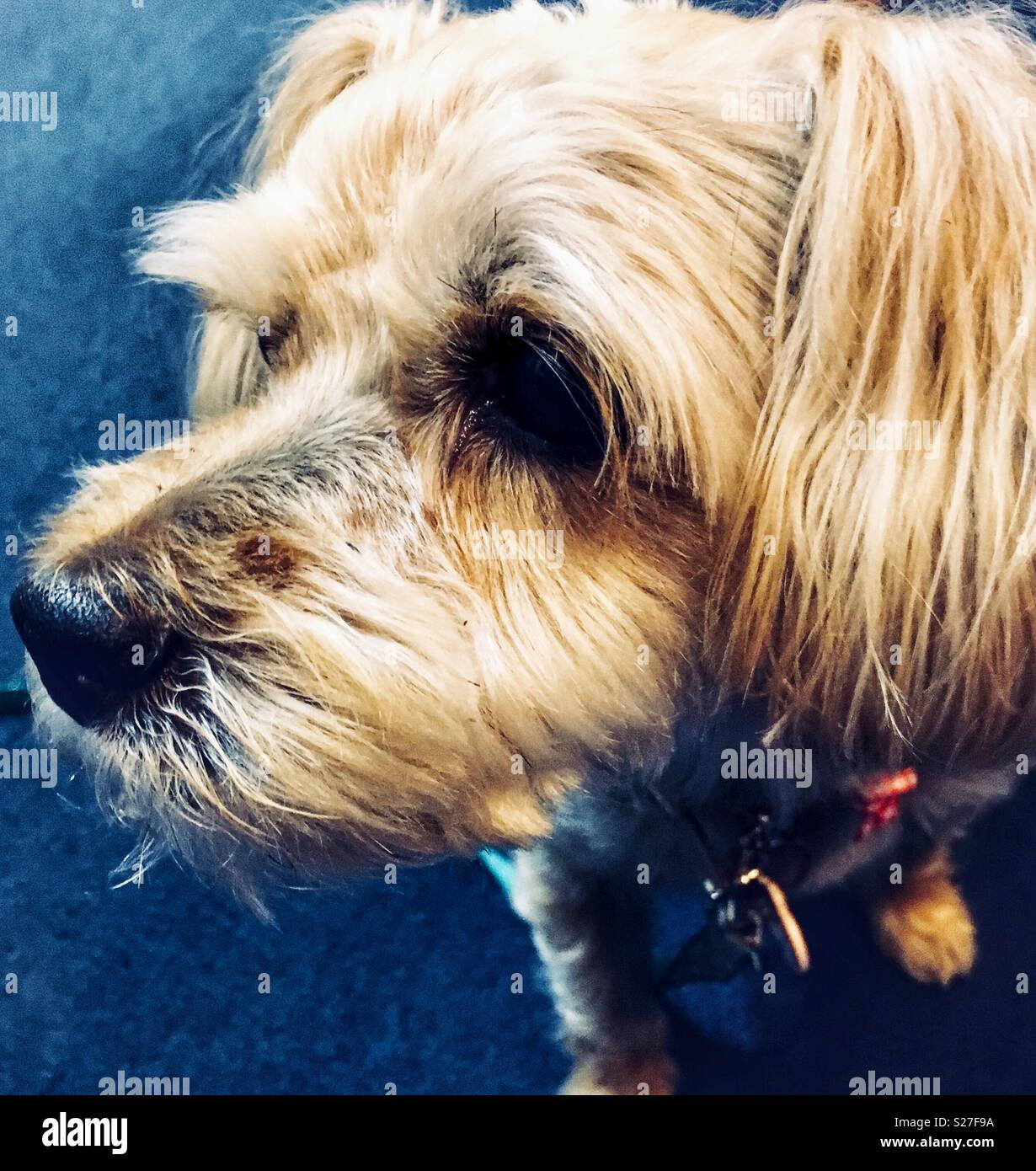 Yorkie mix dog looking to the left - Stock Image