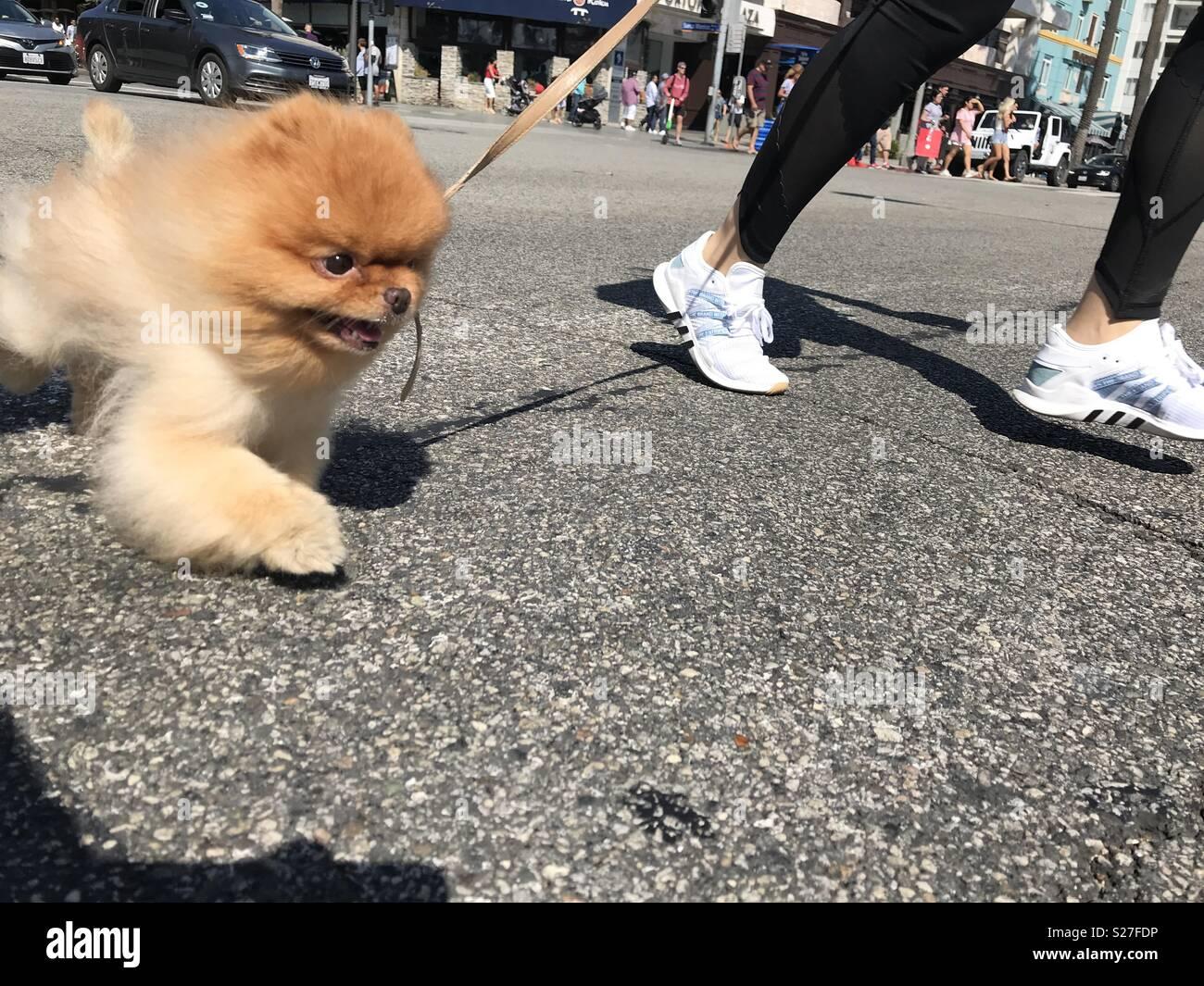 Smiling Pomeranian dog running alongside owner, crossing the street. - Stock Image