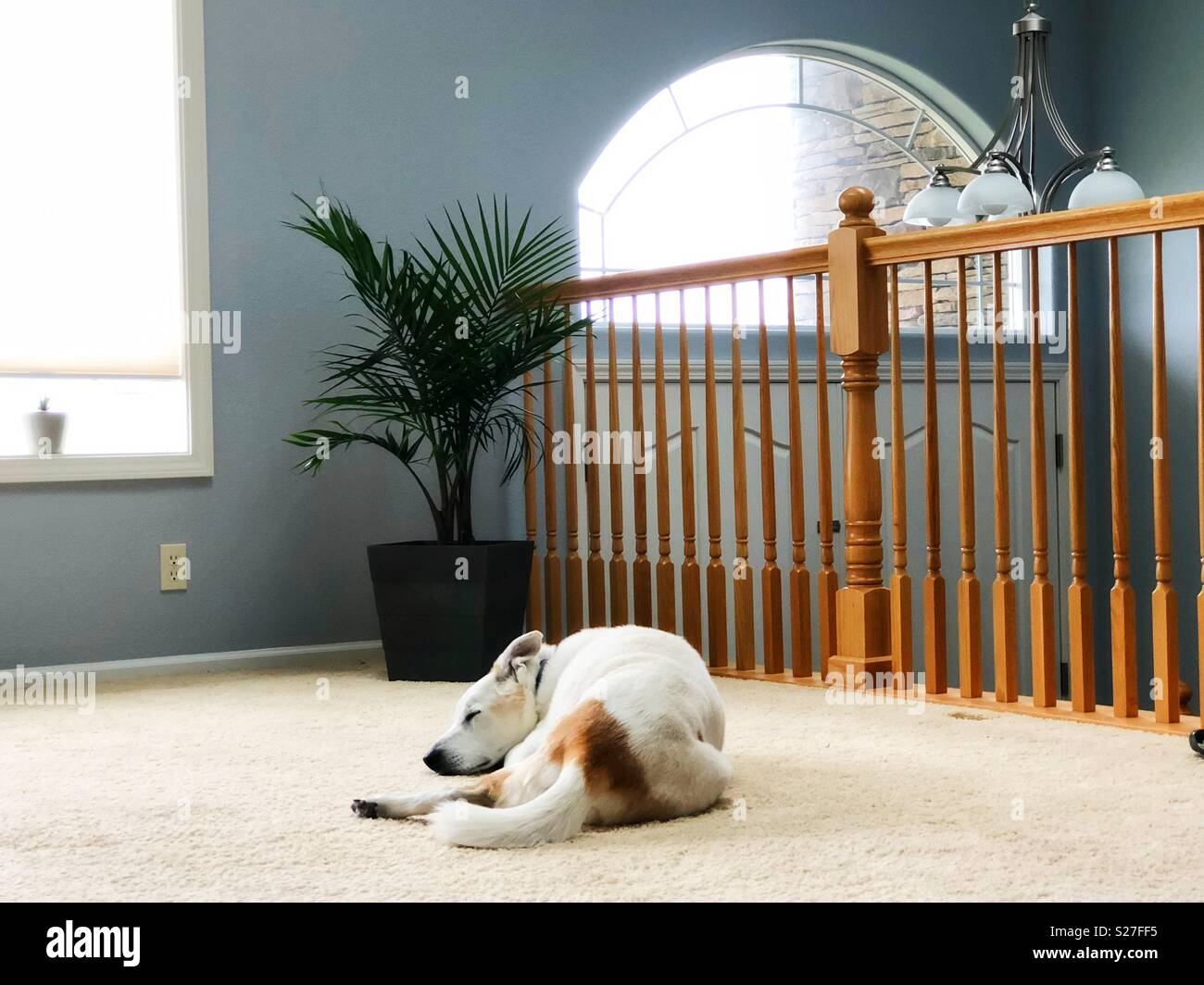 A dog sleeping on a carpet in a house. - Stock Image