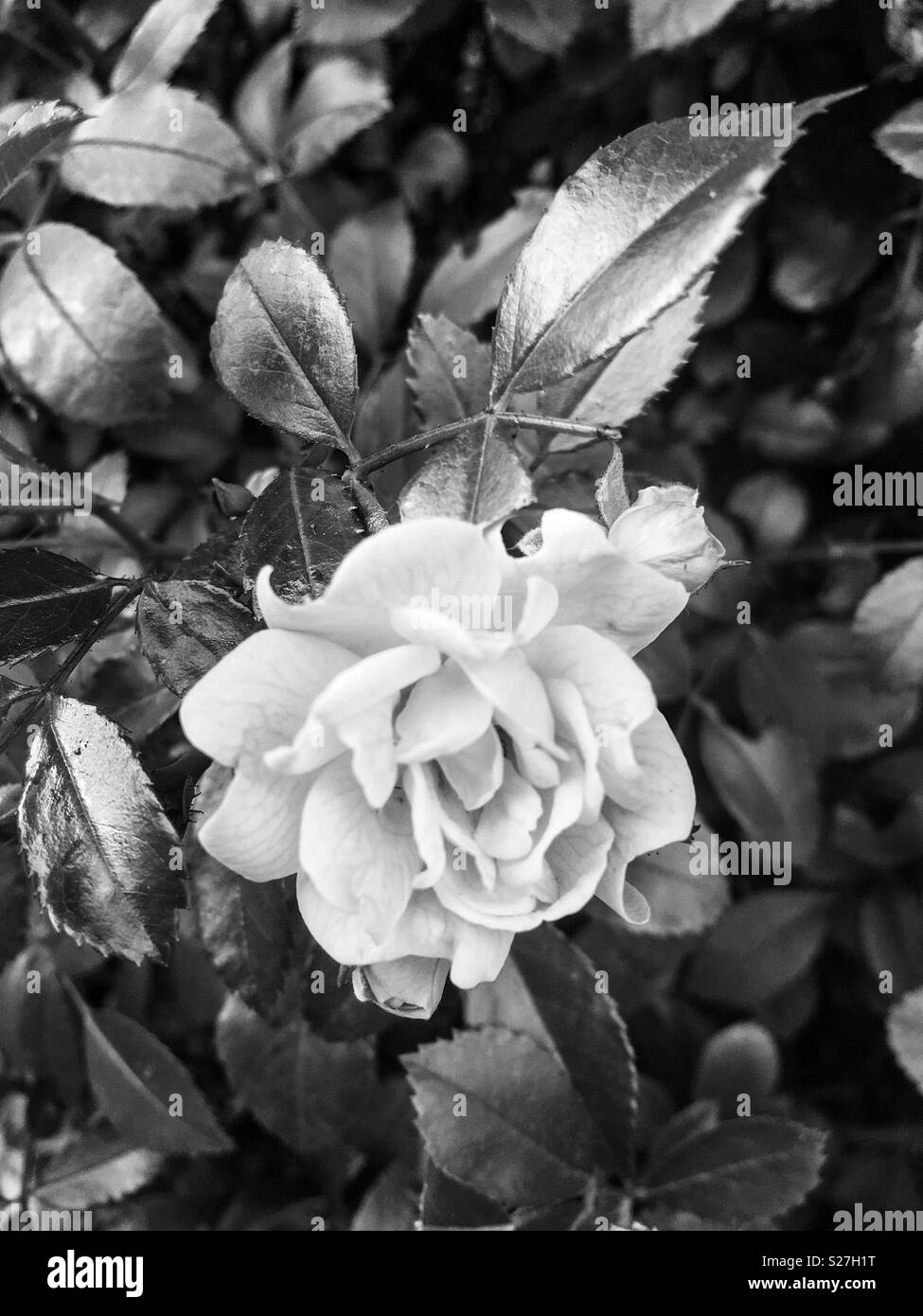Rose in black and white - Stock Image