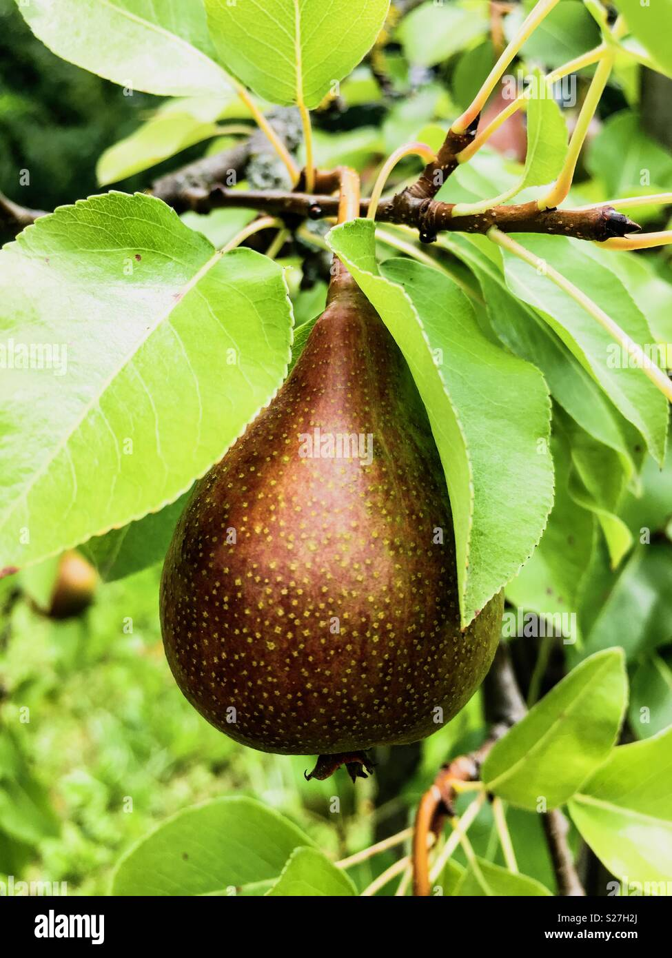 Pear on the tree - Stock Image