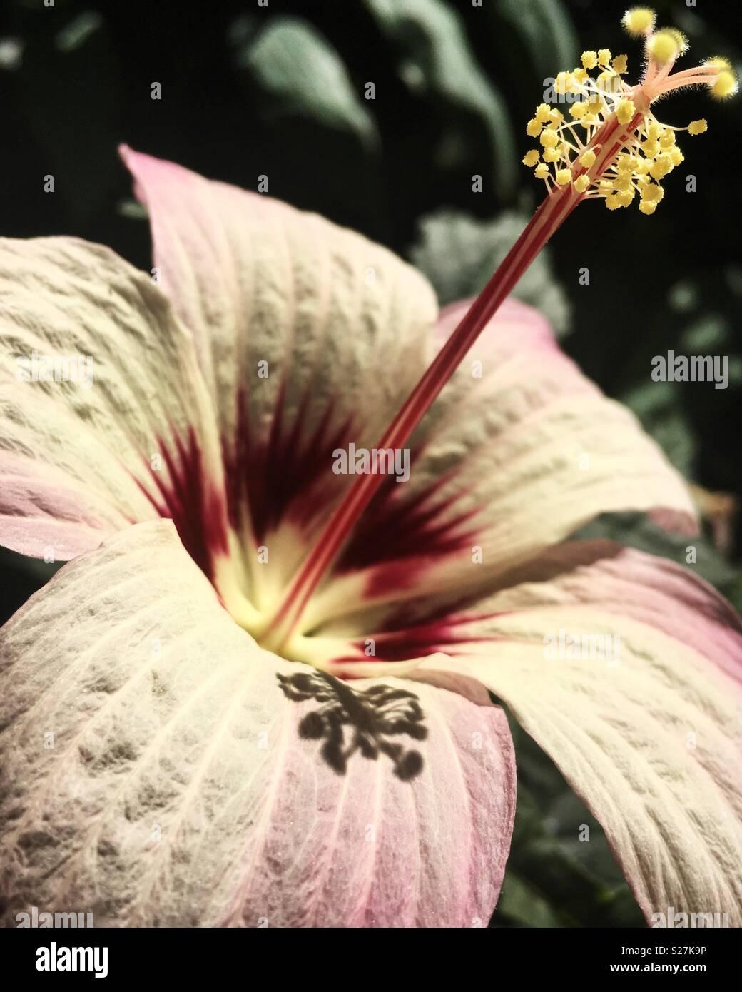 Perfect Hibiscus bloom - Stock Image
