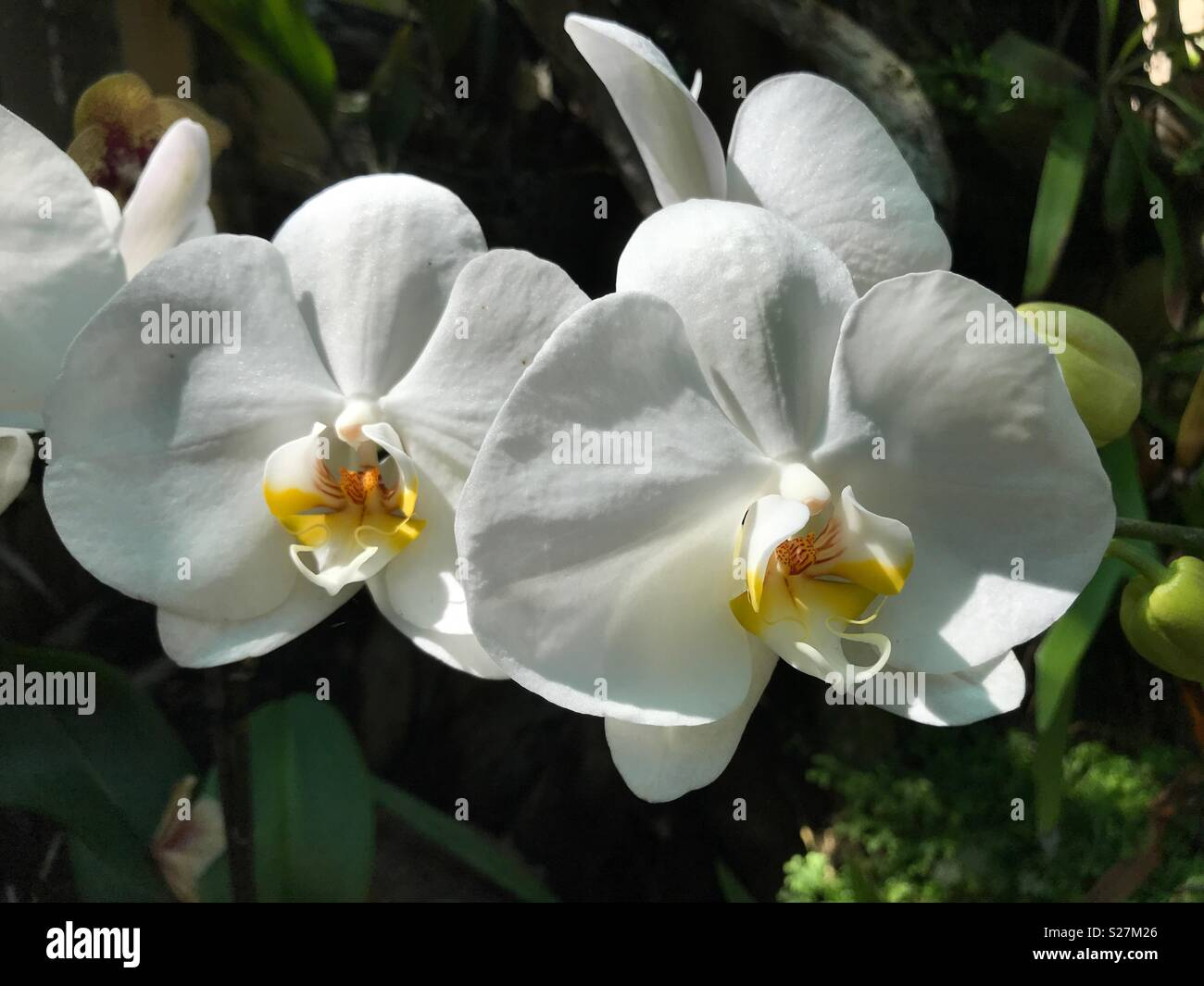 Perfect White Orchid Flowers In The Orchid Garden Funchal Madeira