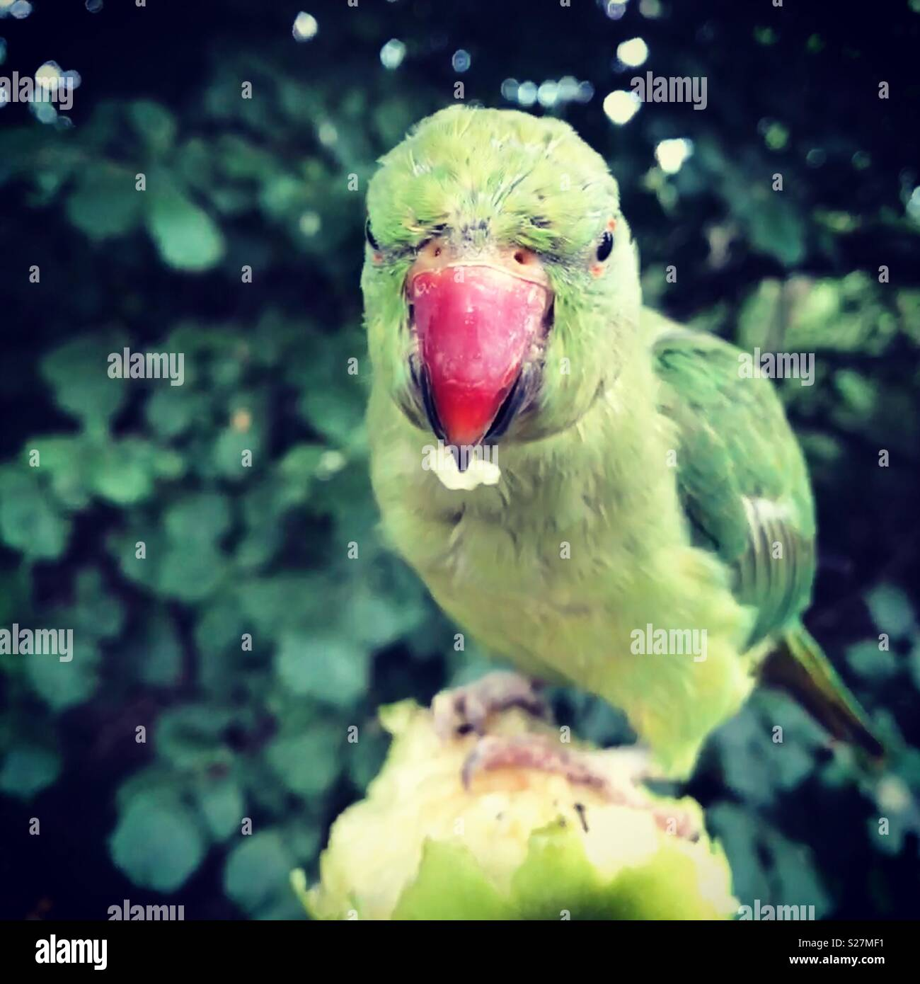 Flying and living free and wild in Hyde Park, flocks of parrots loving apples - Stock Image