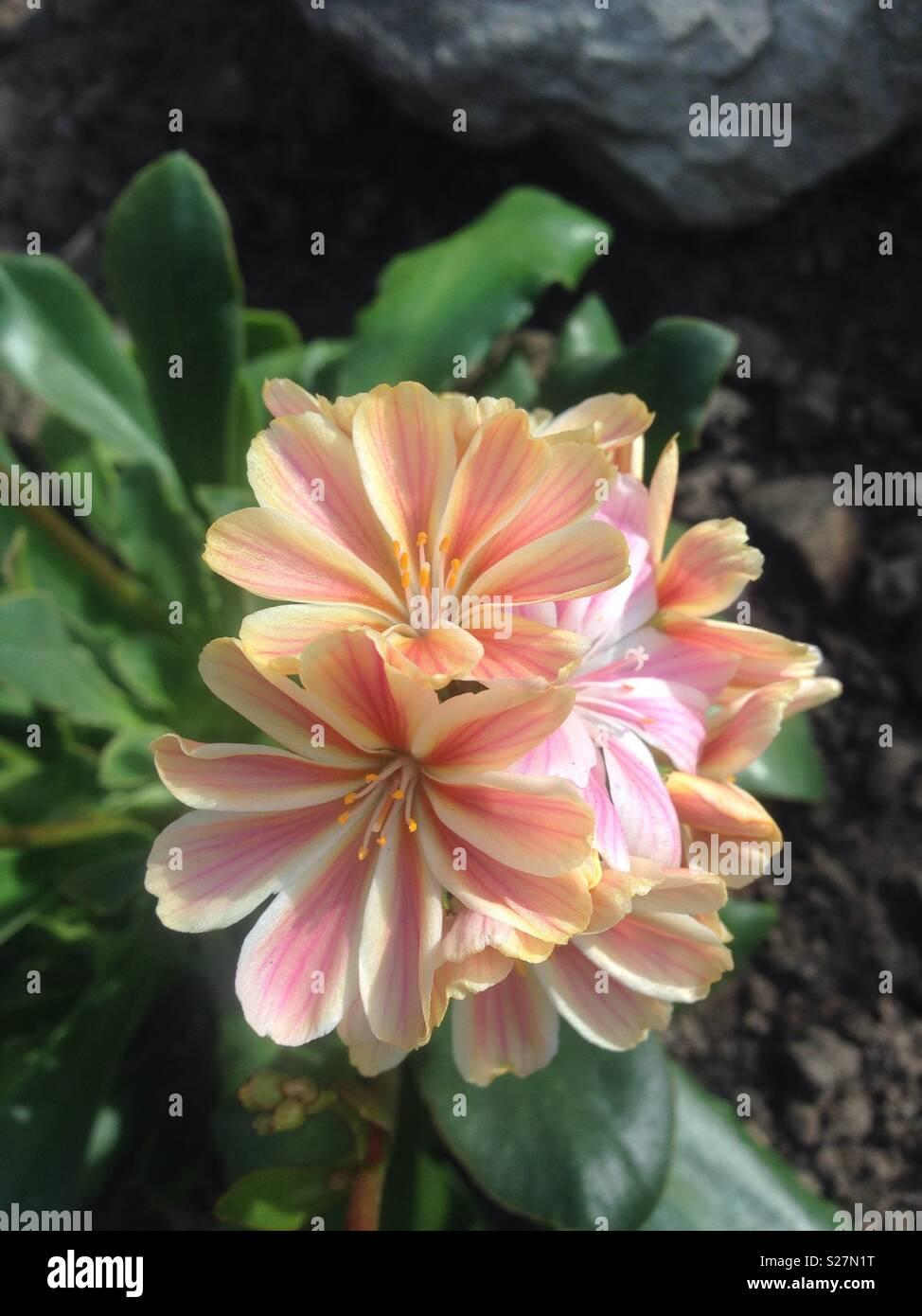 Peach flowers - Stock Image