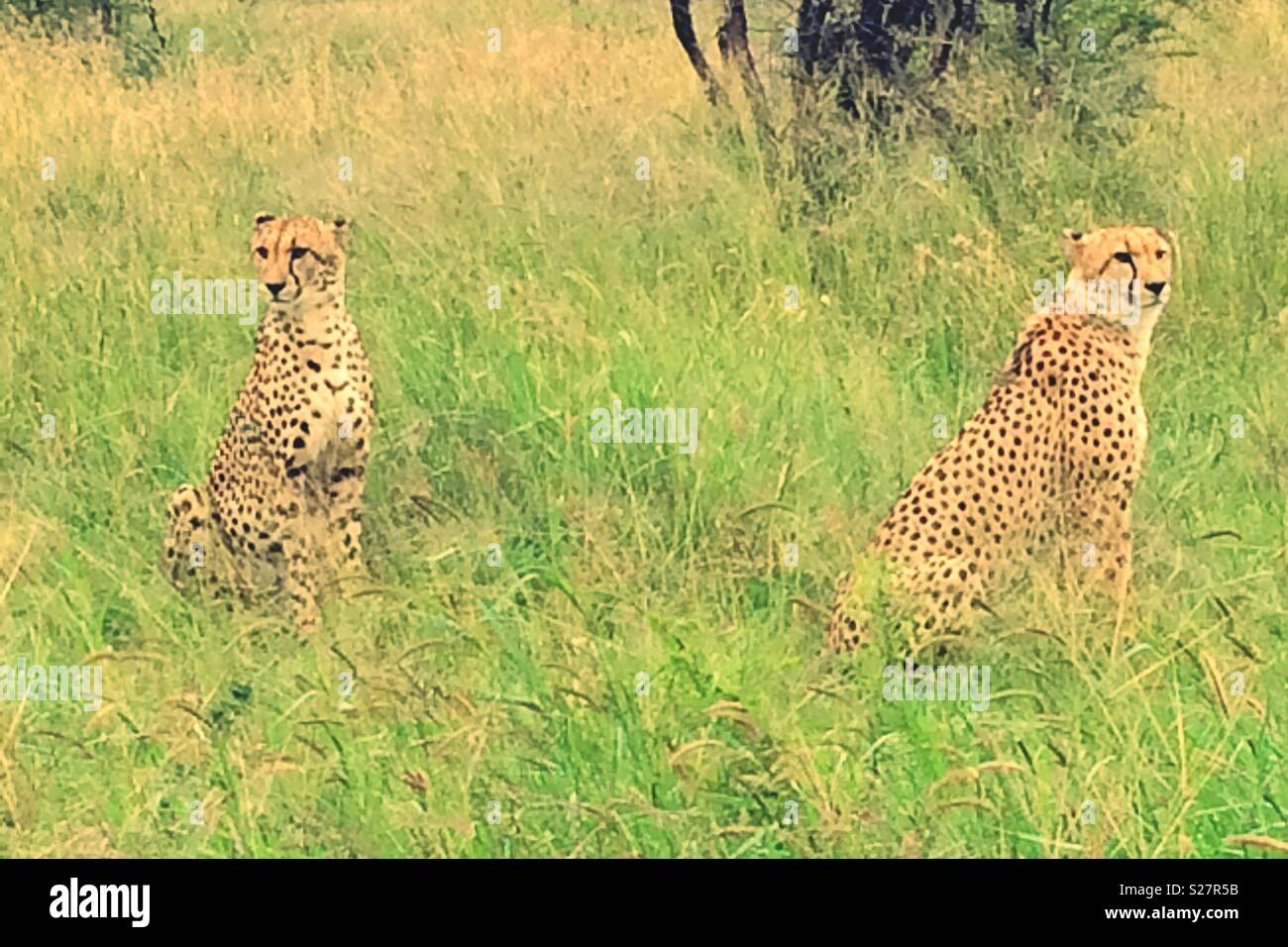 Cheetahs Sitting In Long Grass In The Wild At Madikwe Game