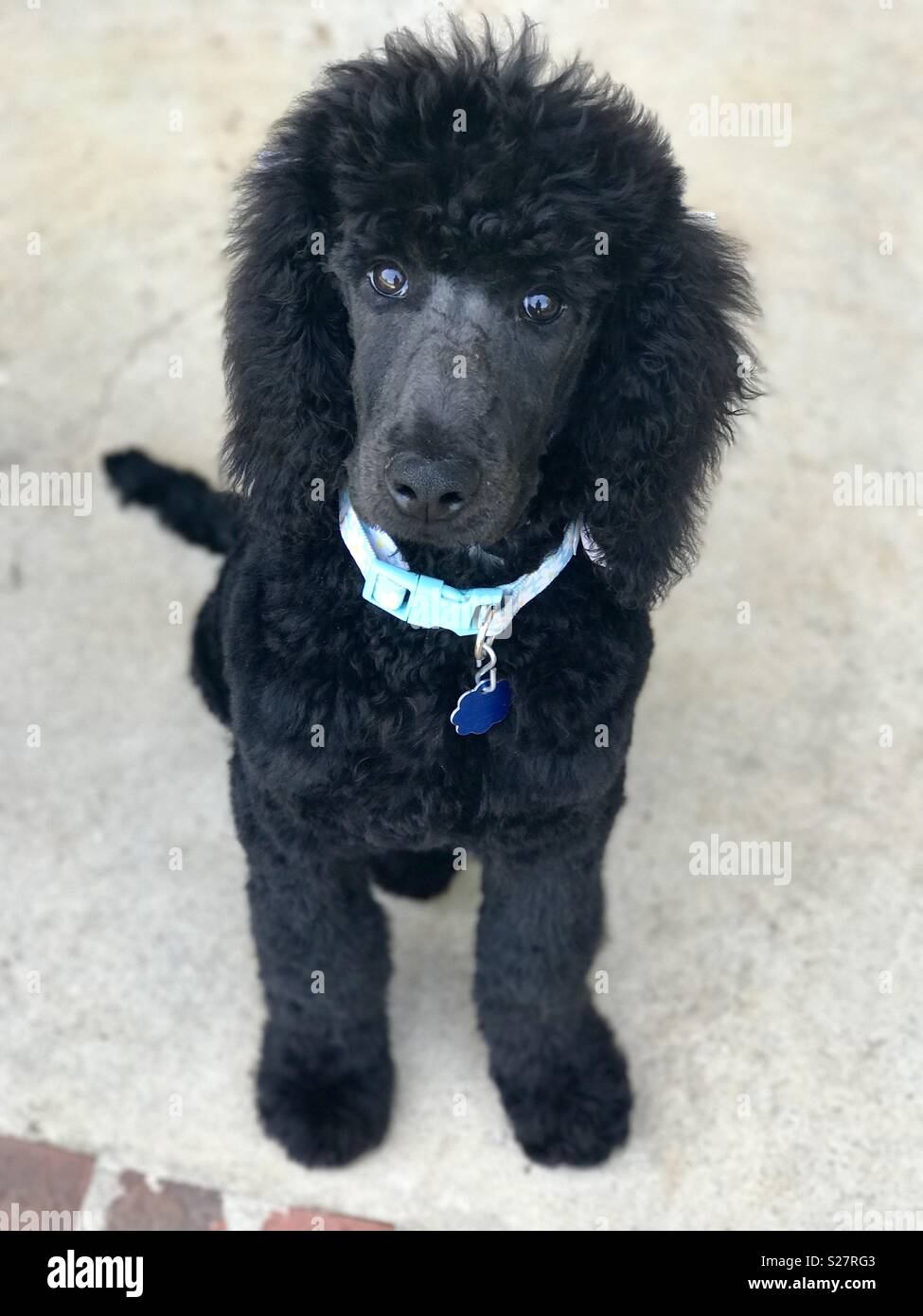 Blue Poodle Stock Photos & Blue Poodle Stock Images - Alamy