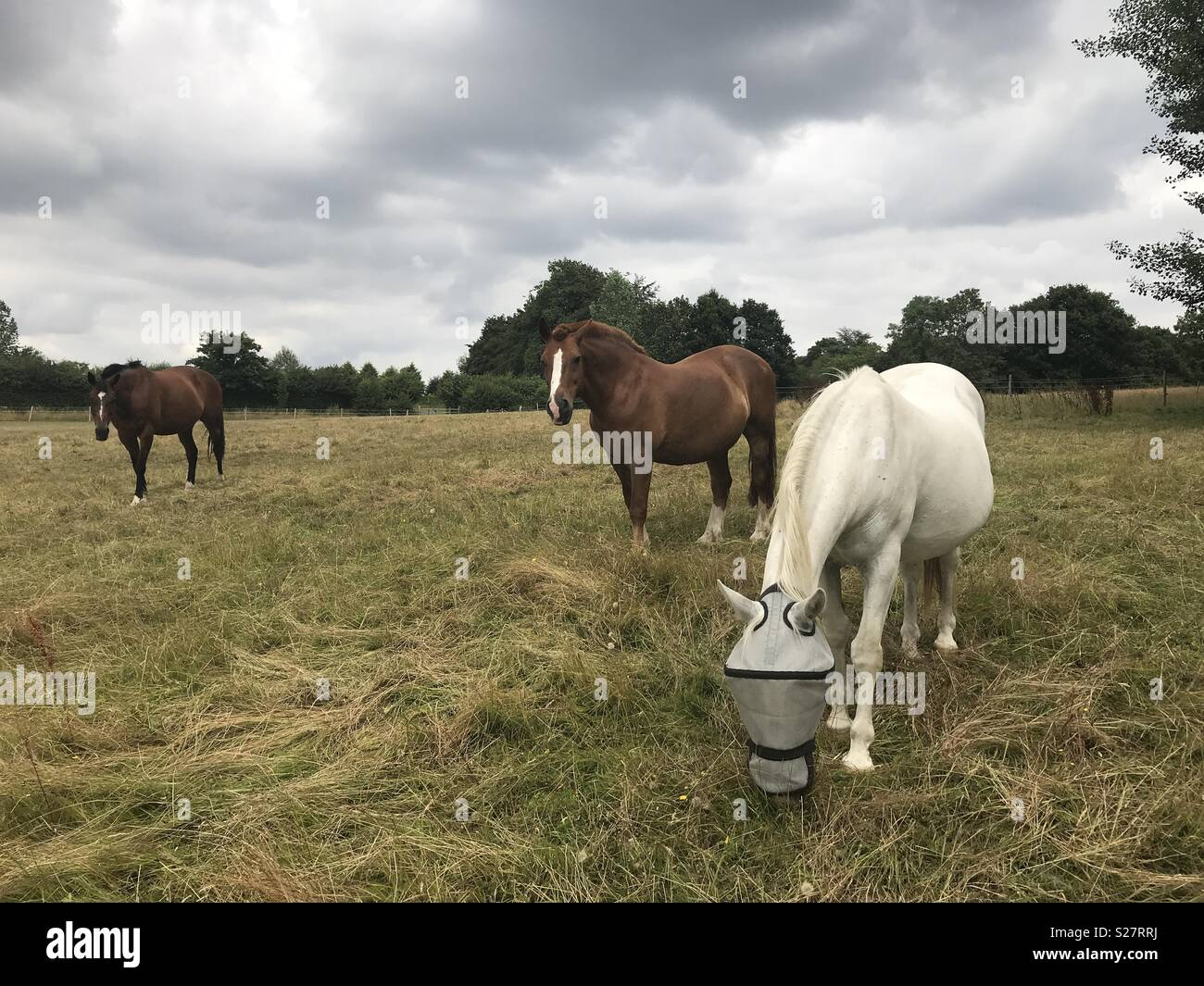 Three horses in a field - Stock Image