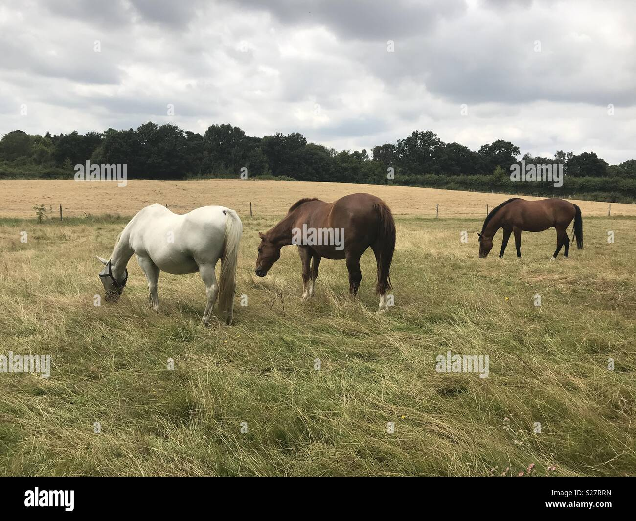 Three horses eating in a field - Stock Image