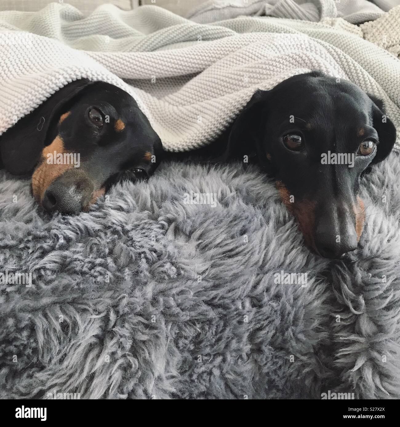 Two Dachshunds in blankets during winter - Stock Image