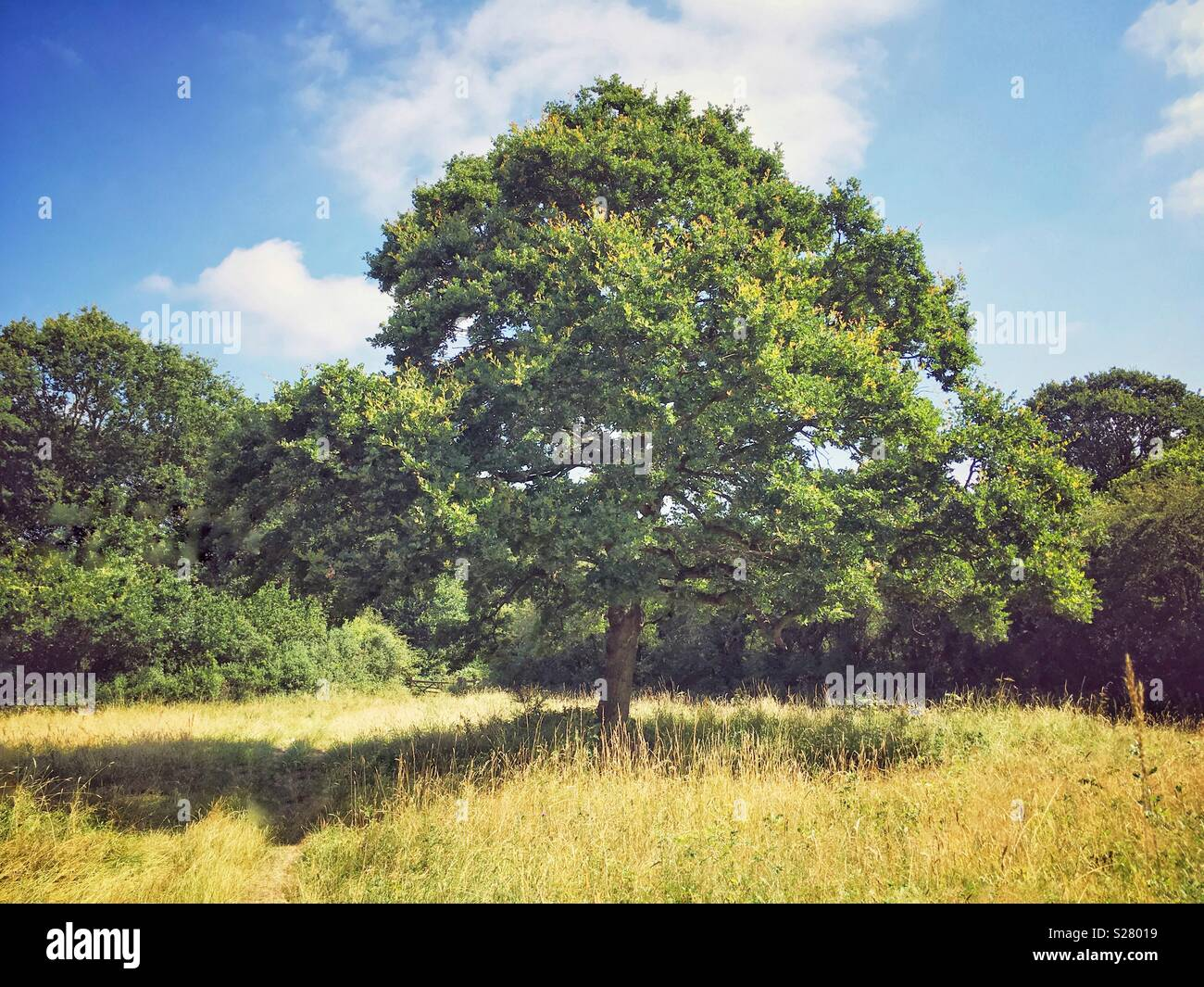An Oak tree in the meadow on a Summer's day. - Stock Image