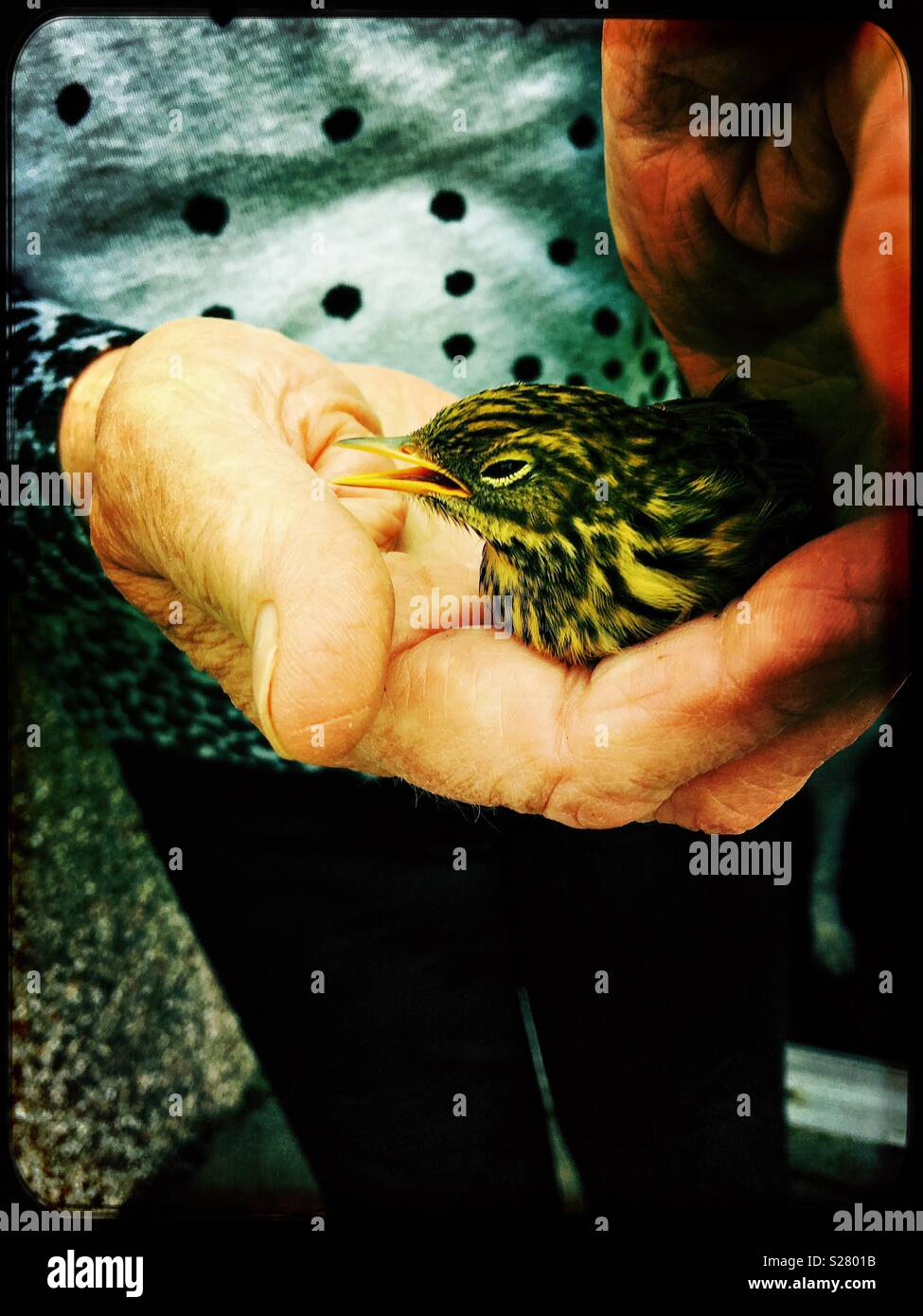 Stunned young starling in gentle hand - Stock Image