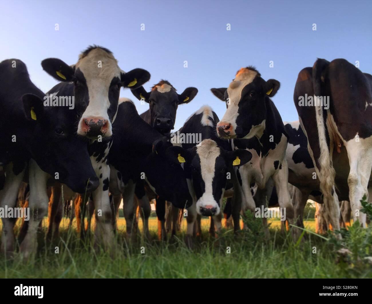 Curious Devon Cows - Stock Image