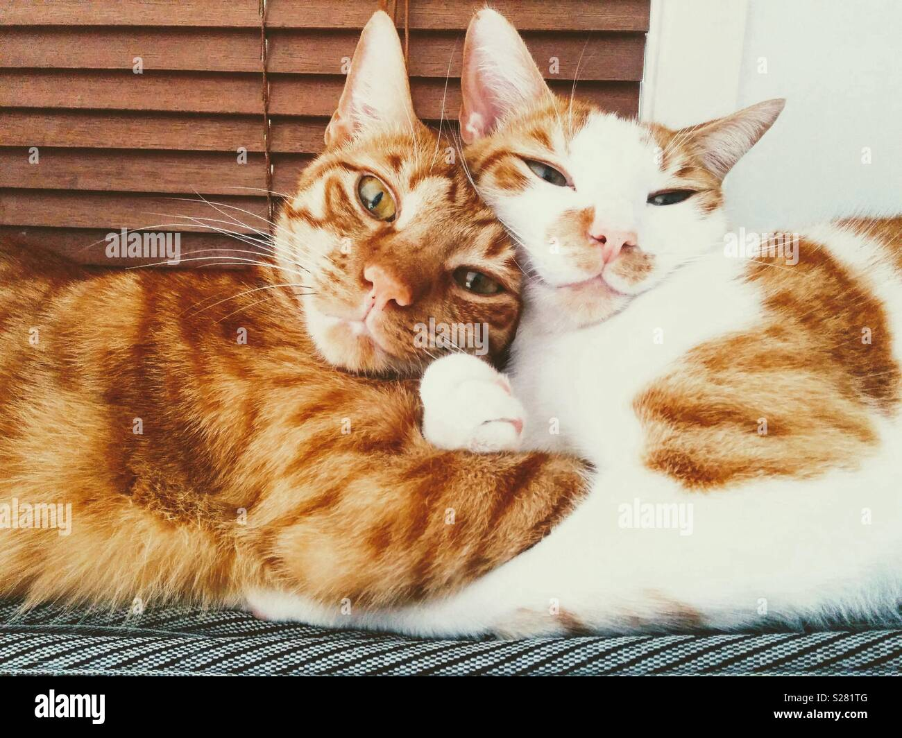 Feline Brotherly love - Stock Image