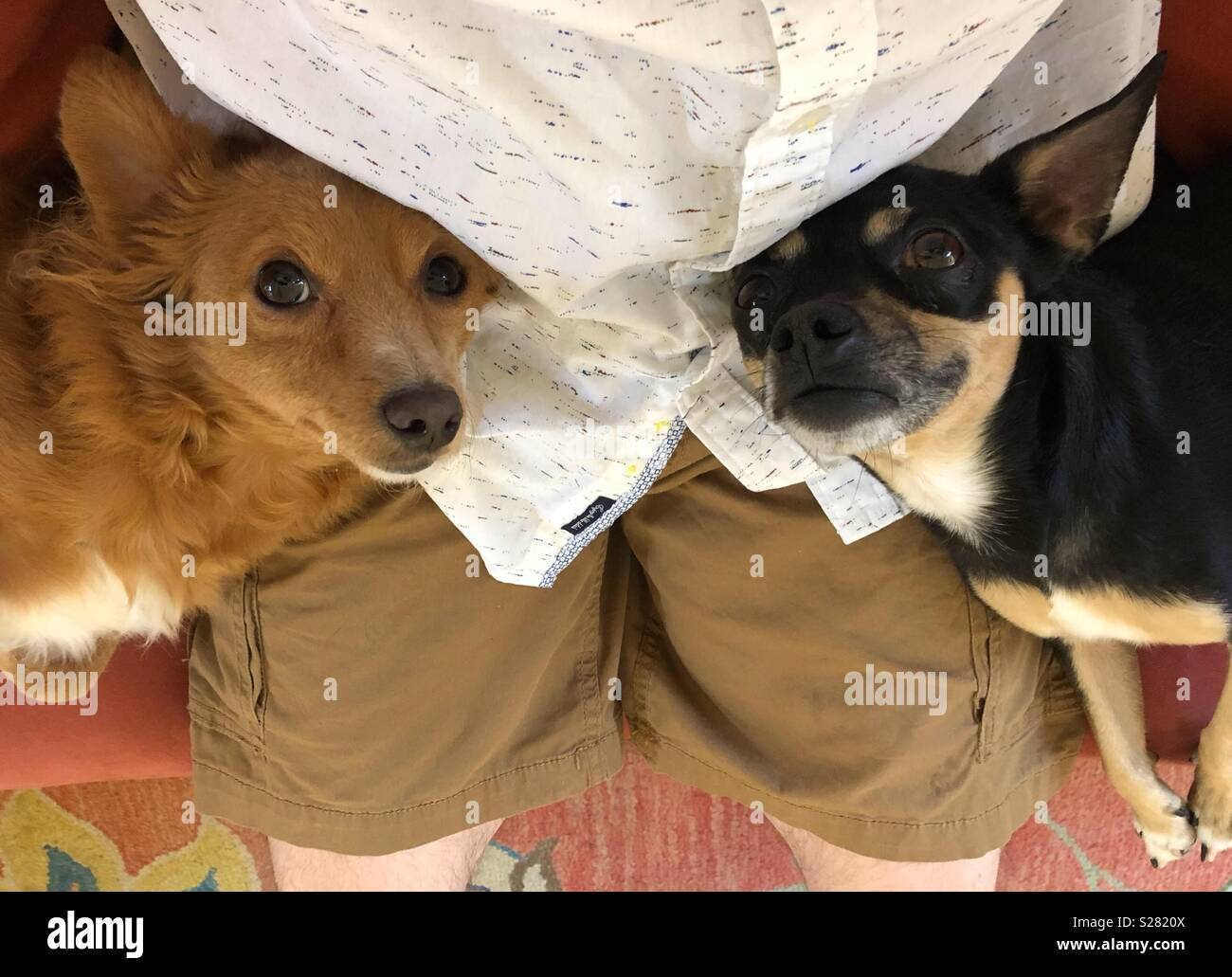 Two dogs in man's lap - Stock Image