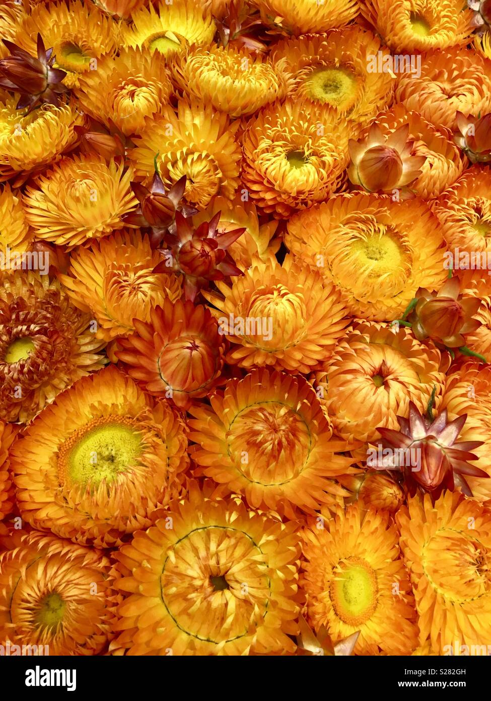 Dried Australian Native Paper Daisy Flowers Stock Photo 311193585