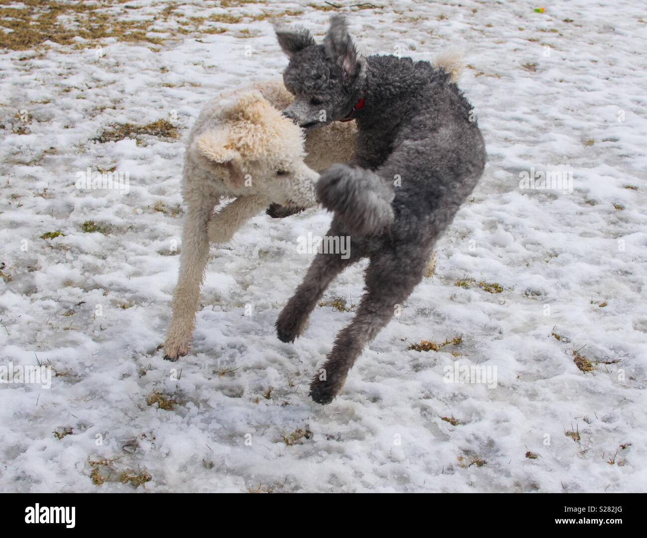 2 poodles playing - Stock Image