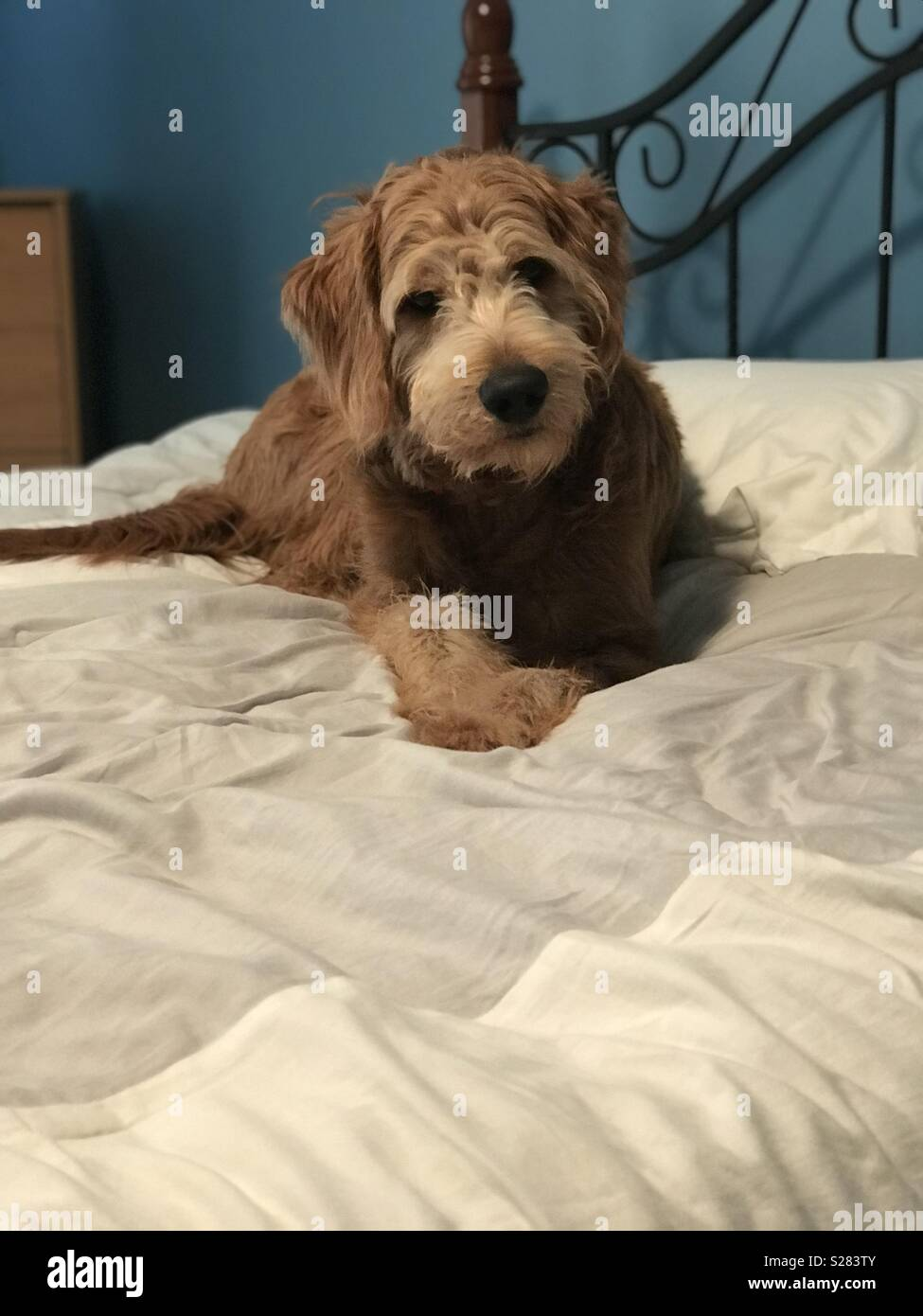 Goldendoodle lounging on a bed - Stock Image
