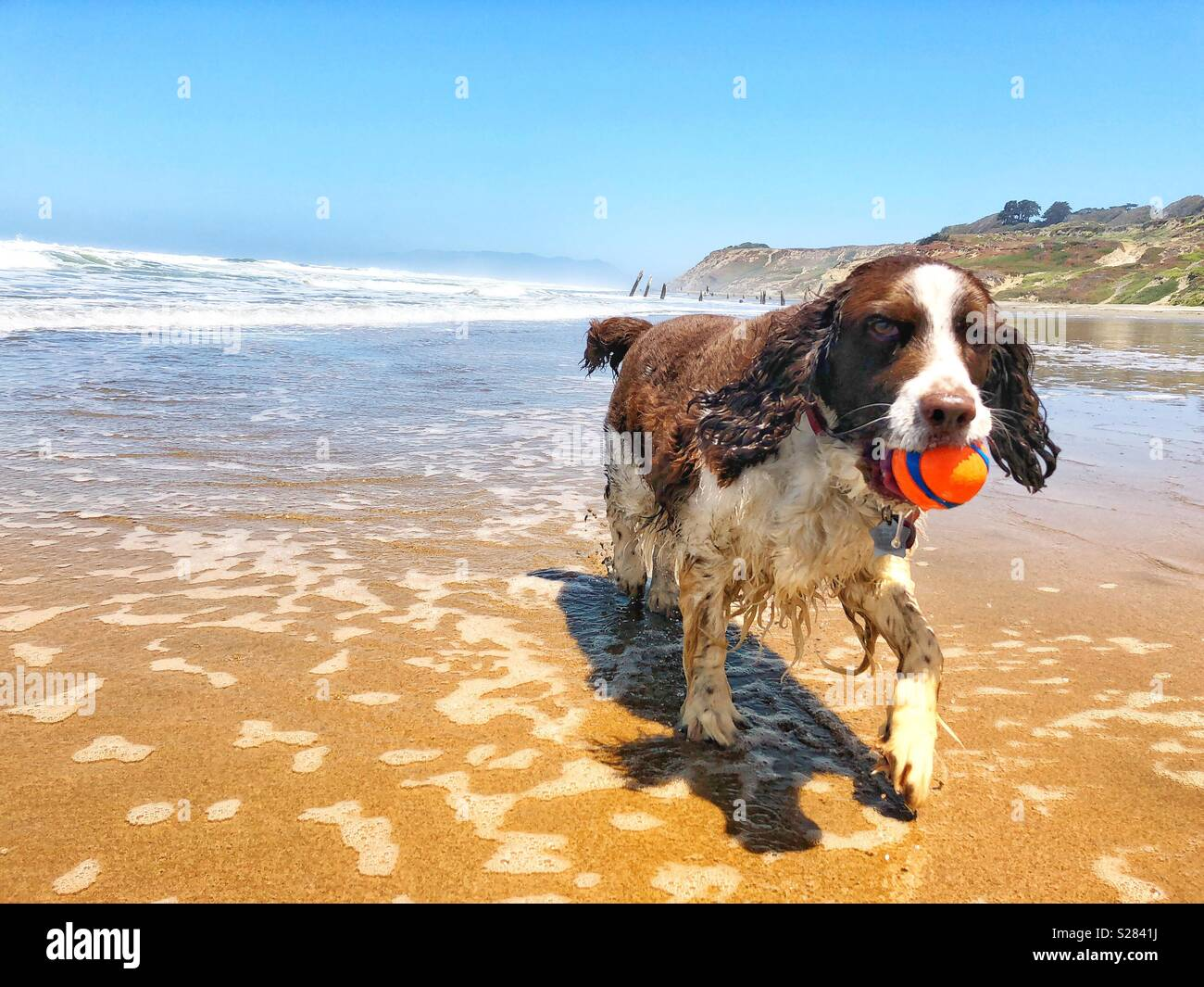Happy English Springer Spaniel puppy dog girl delighted to retrieve orange ball as she trots merrily through the Summer shore break at Fort Funston beach in California - Stock Image