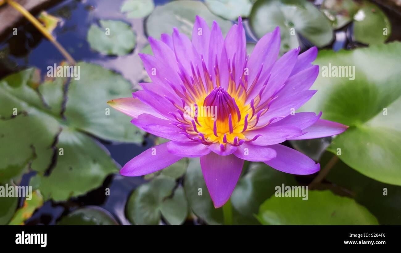 Closed Up Purple Lotus Flower Stock Photo 311195116 Alamy