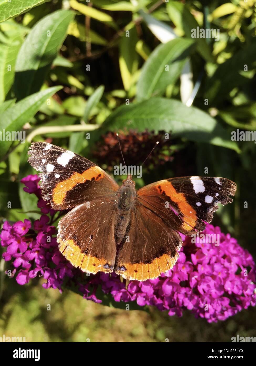 Vanessa atlanta on butterfly bush - Stock Image