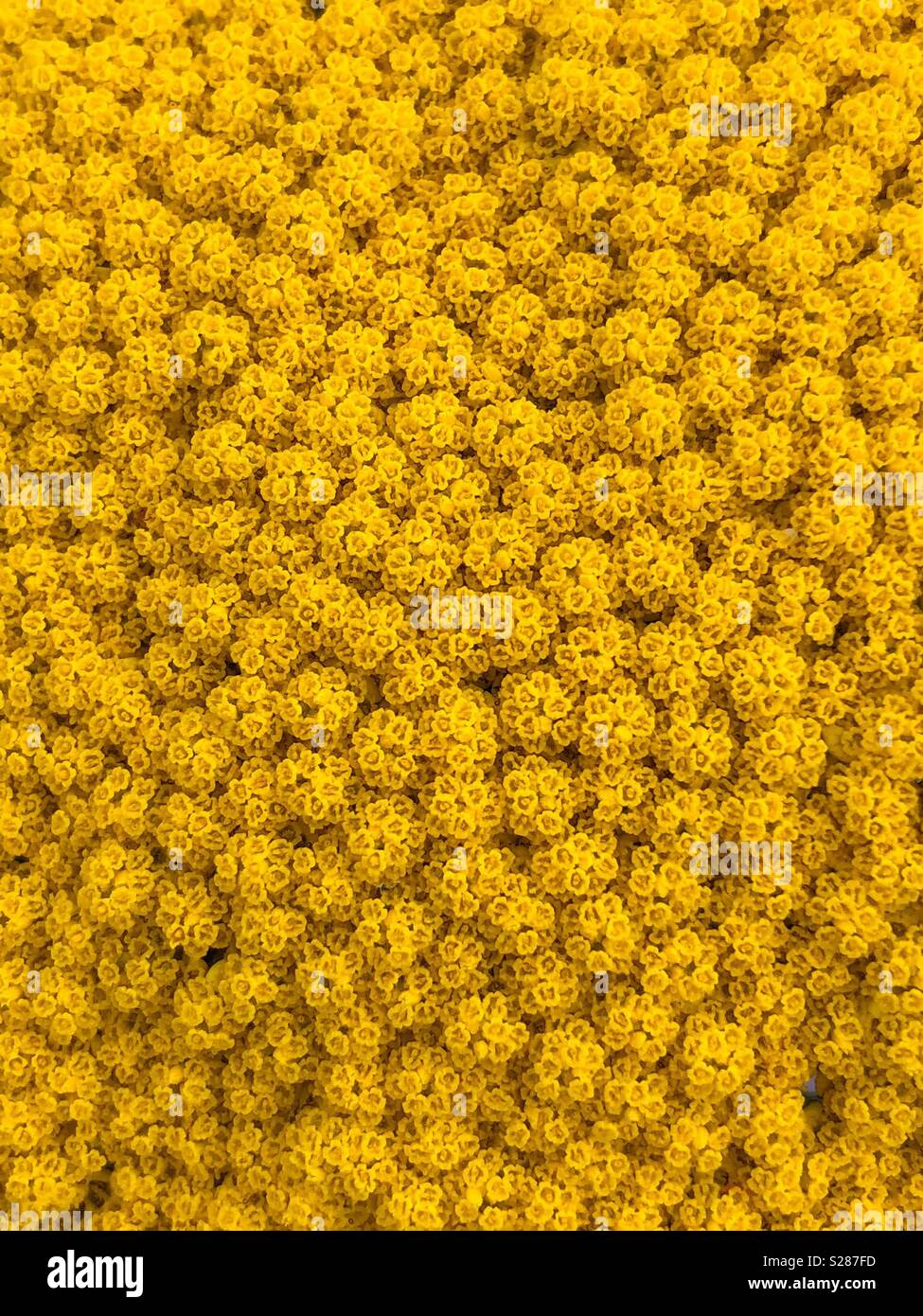 Close up of Achillea moonshine, yellow summer flower - Stock Image