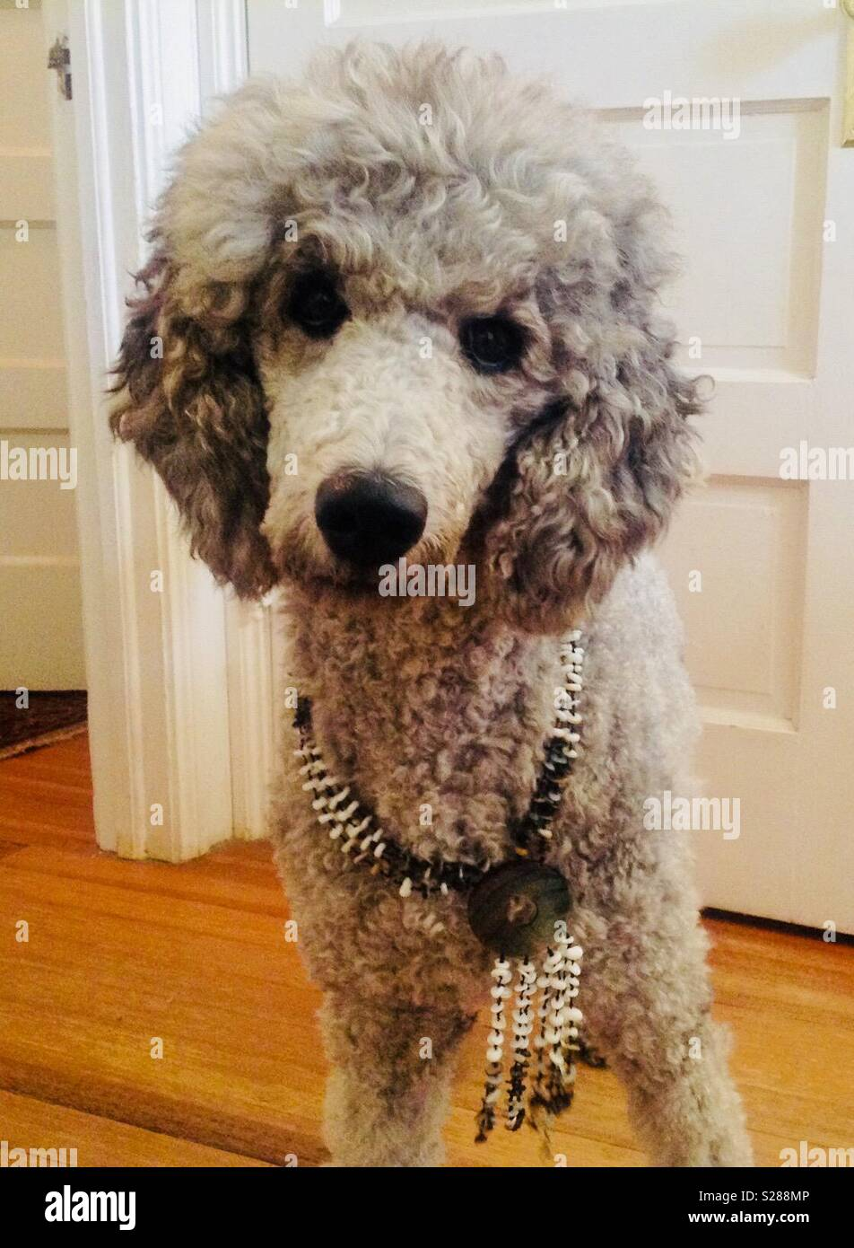 Poodle modeling a necklace - Stock Image