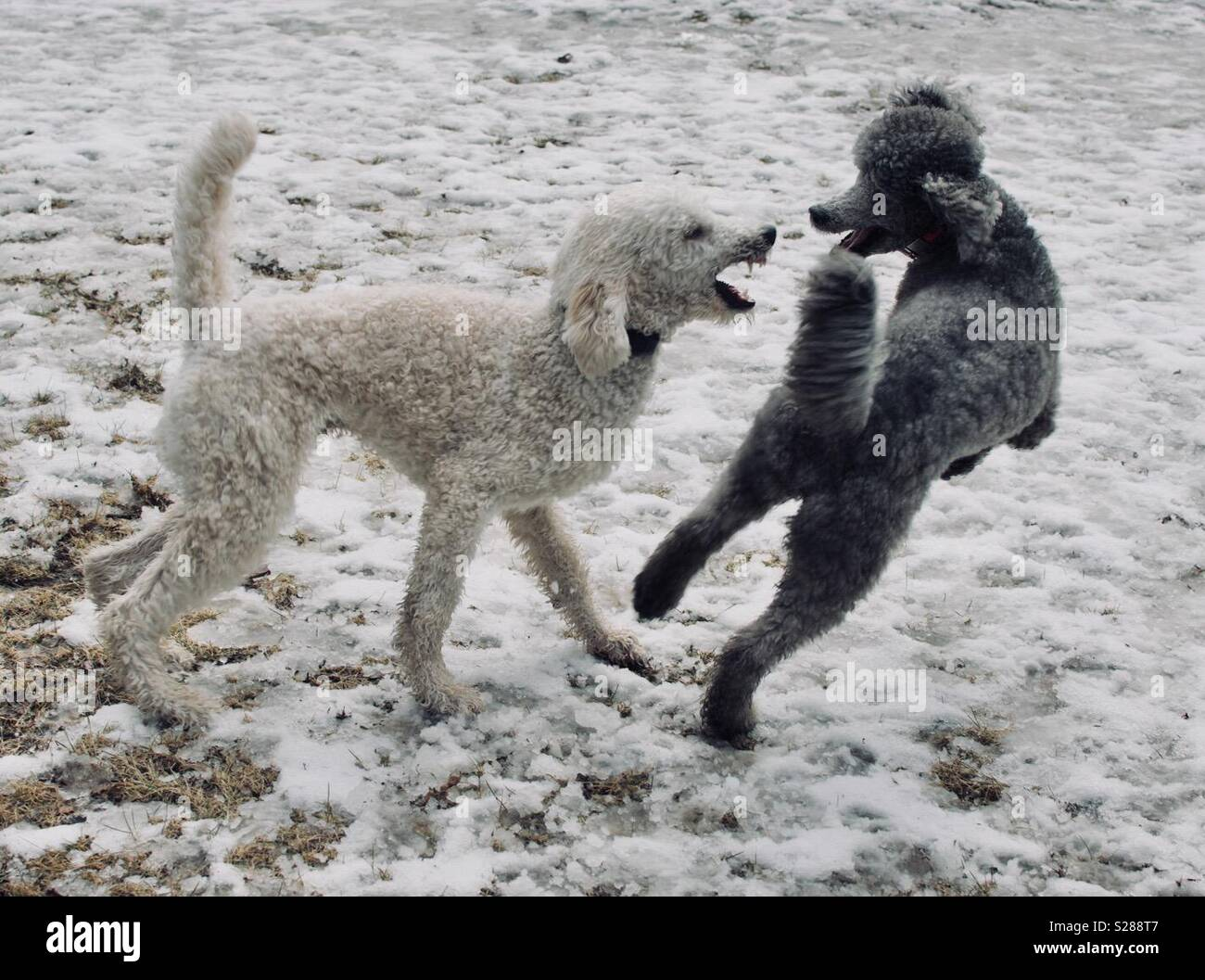 Poodles playing in the snow - Stock Image