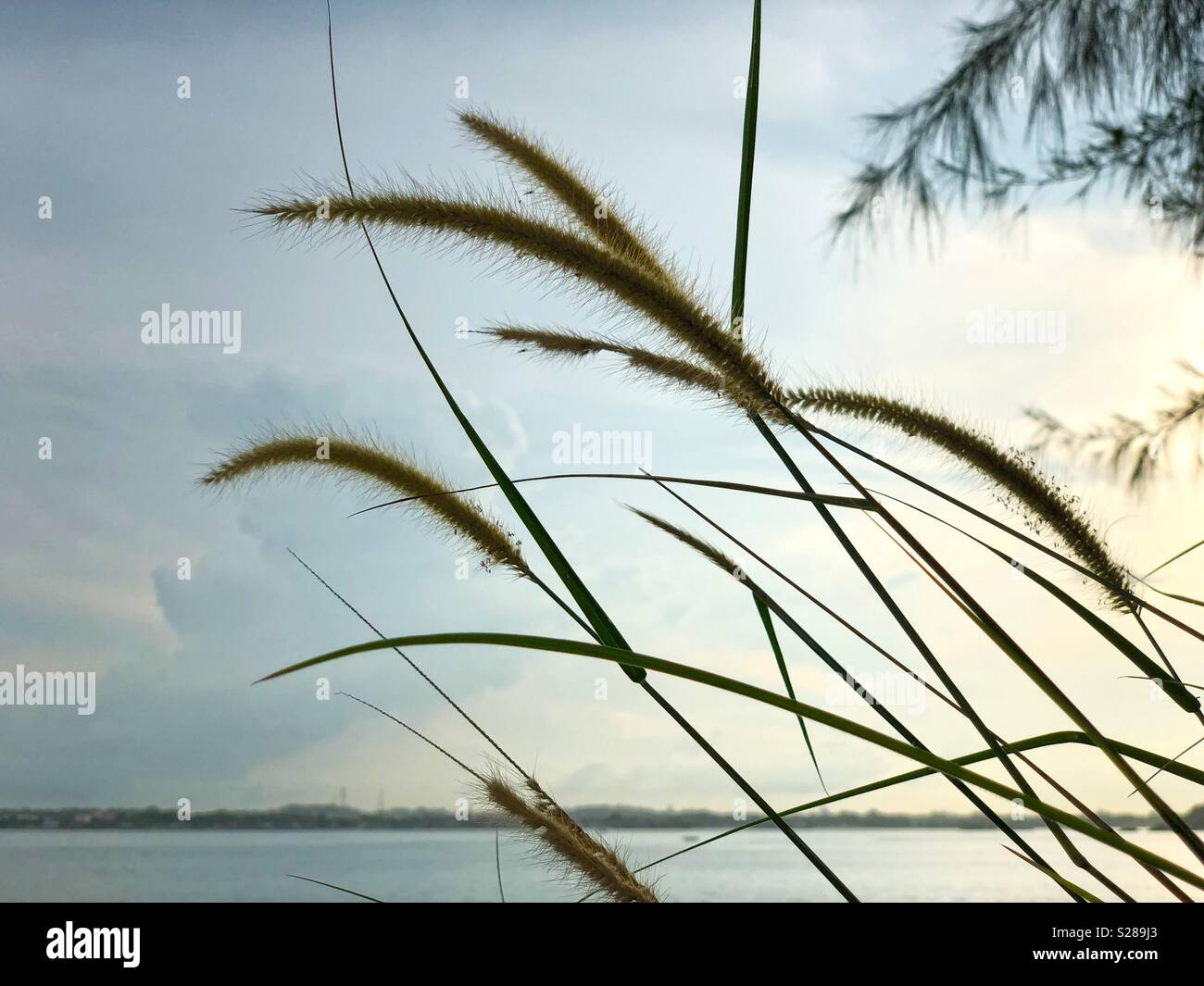 Abstract natural backgrounds of Cogon grass,blady grass, lalang grass or Imperata Cylindrica - Stock Image