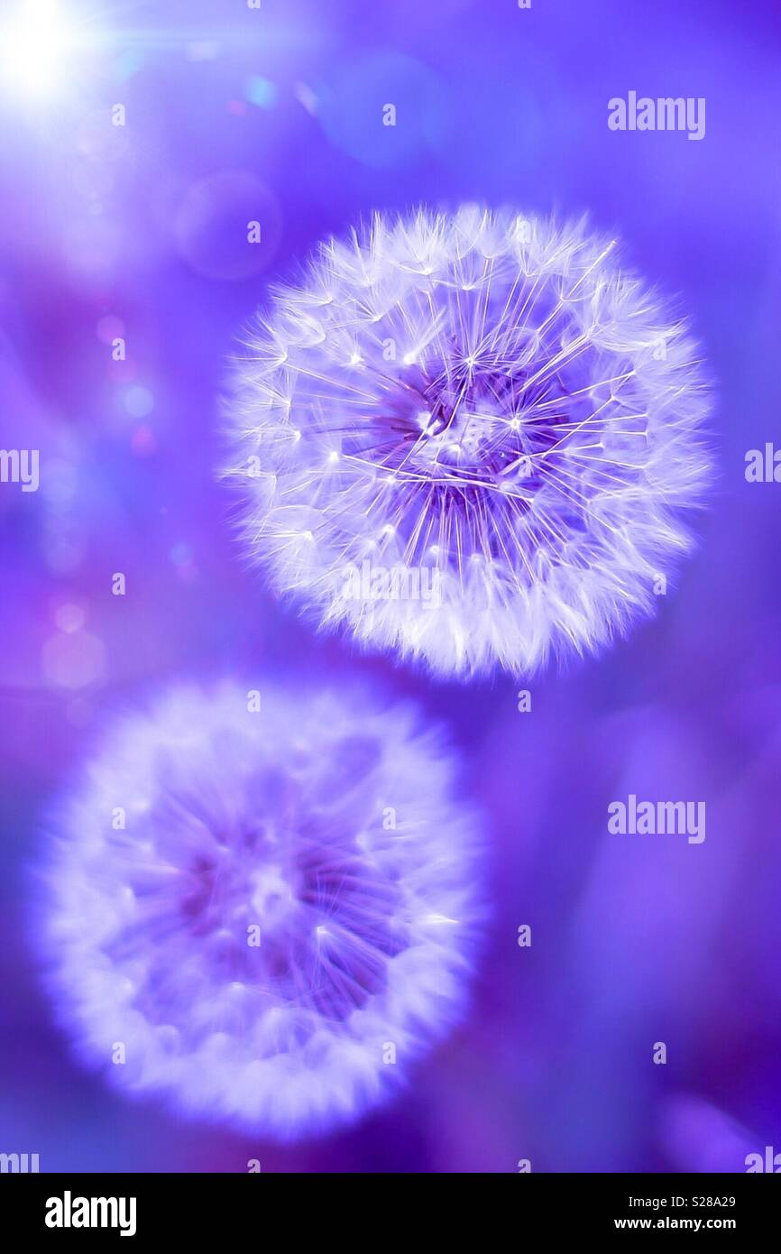 Lila dandelion Stock Photo