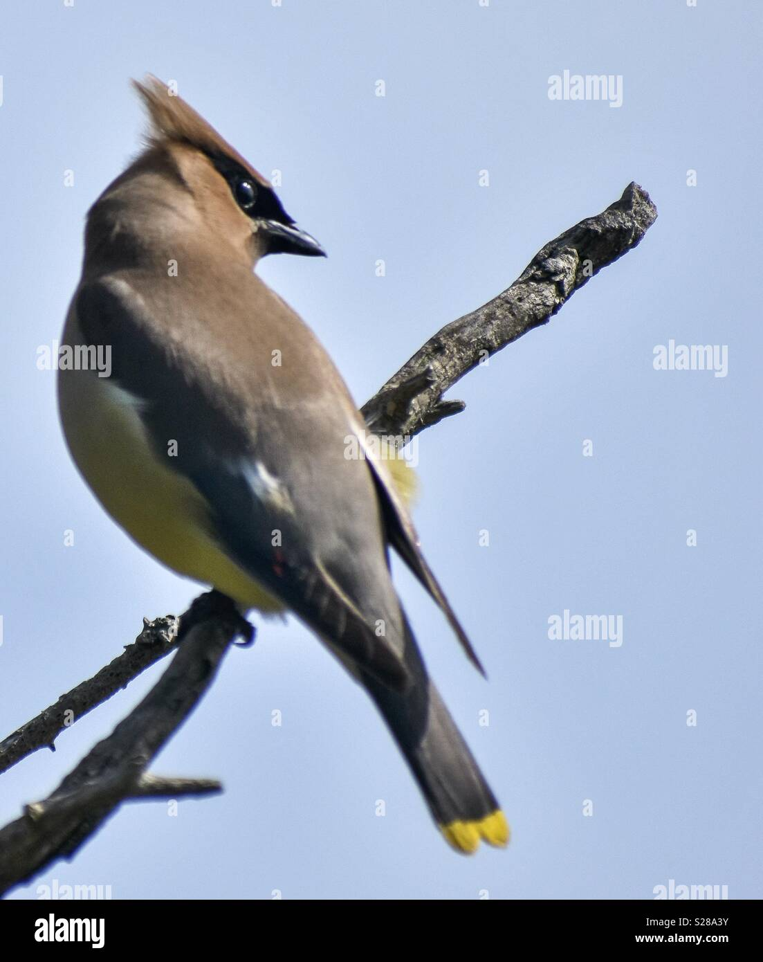 Cedar Waxwing at Spectacle Island, MA. - Stock Image