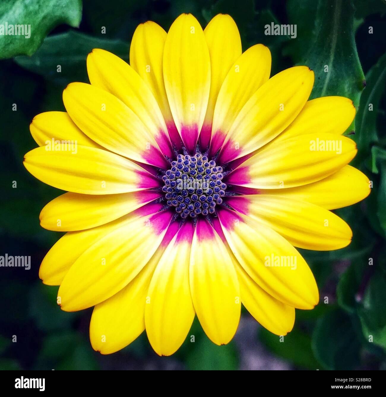 Yellow Daisy With Purple Center Stock Photo 311200833 Alamy