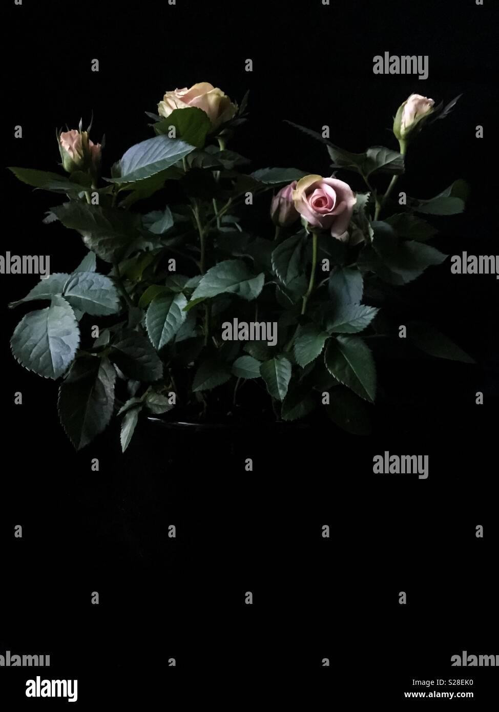 Pink rose bush on dark background - Stock Image