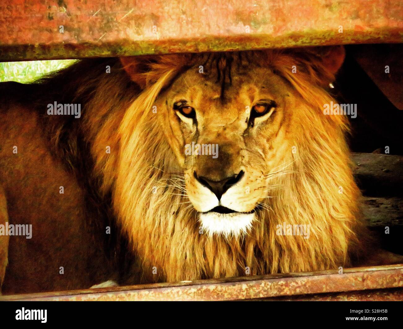 Lion resting in the shade - Stock Image