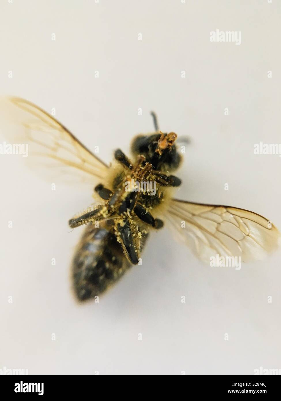 Dead Bee on its Back - Stock Image