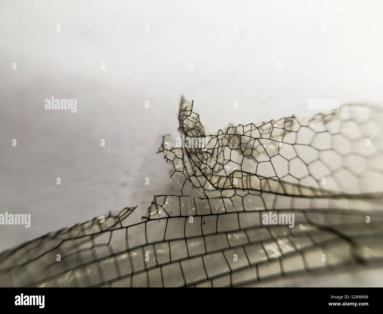 Dragonfly Wing Macro - Stock Image