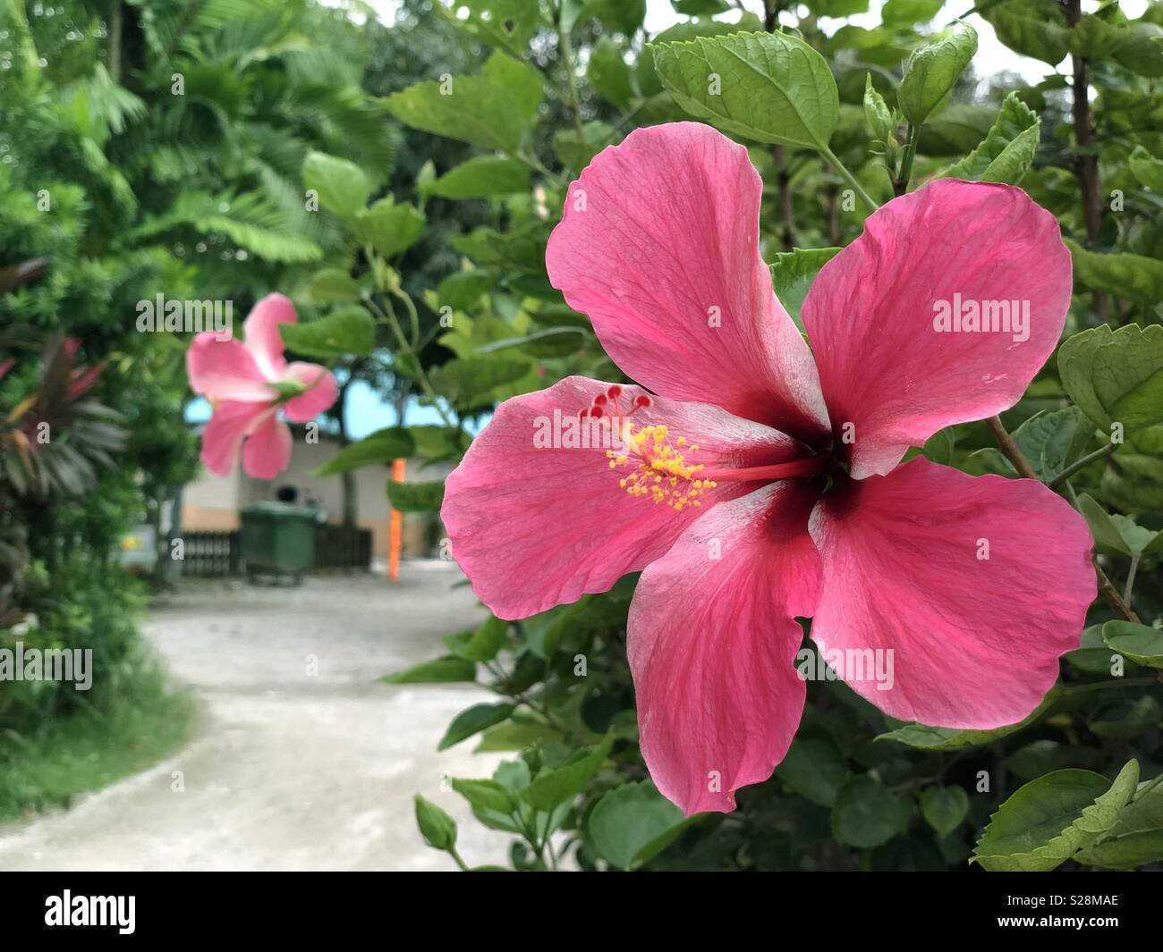 Background raya stock photos background raya stock images alamy red hibiscus flower malaysias national flower locally known as bunga raya stock ccuart Gallery