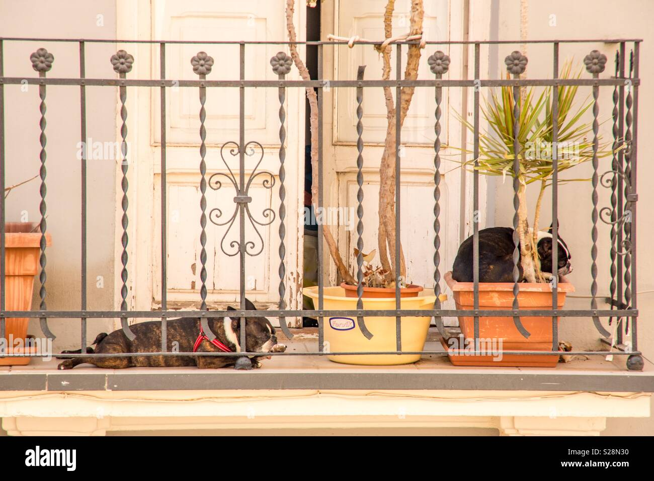 Two really fat cat dogs laying on a balcony in the shade on a sweltering hot summer day in the Barrio de Ruzafa - Stock Image
