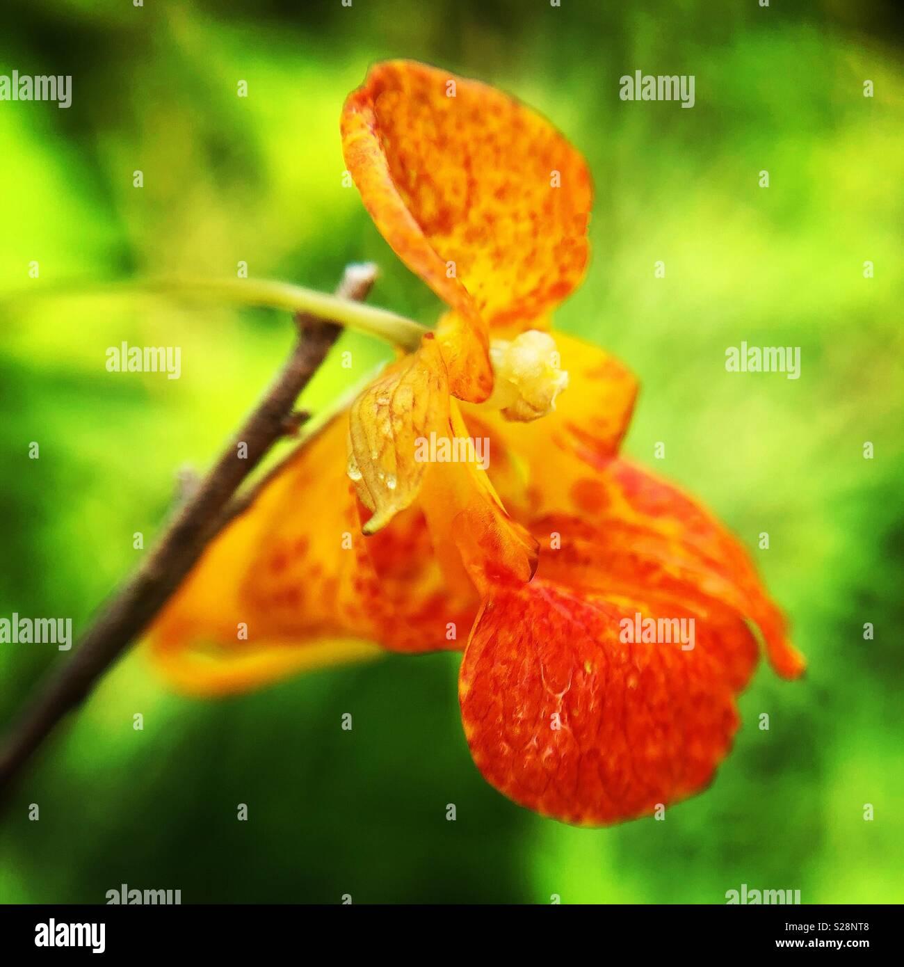 Jewel weed, Wayne county, Pennsylvania - Stock Image