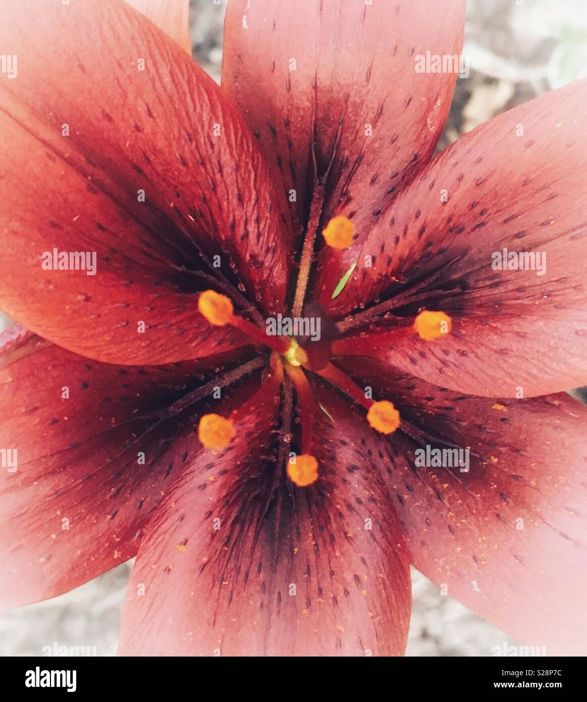 Artsy lily flower - Stock Image