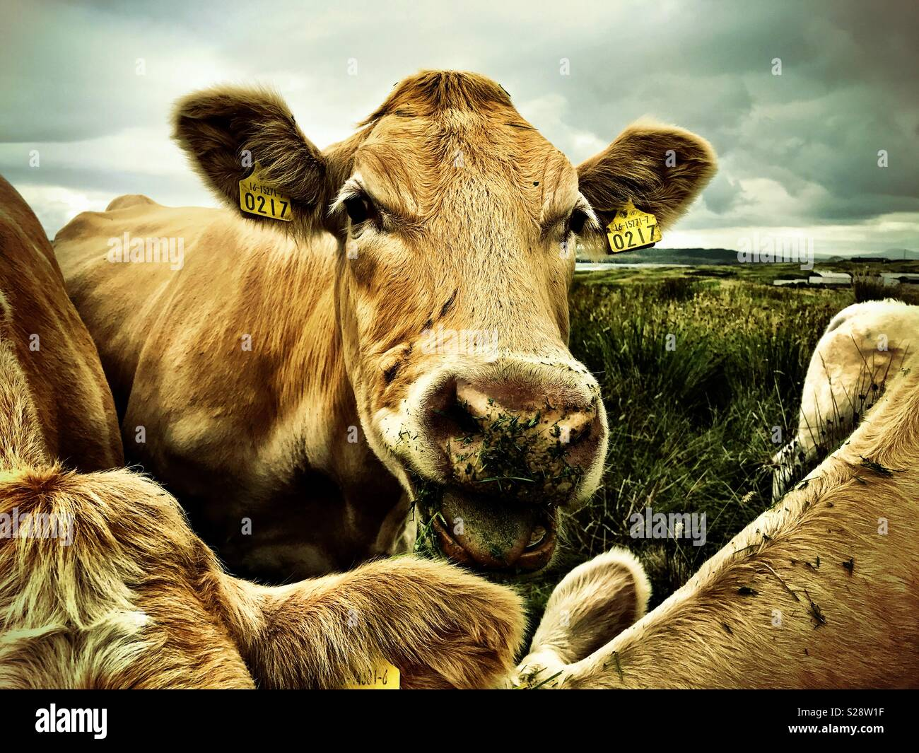 Irish beef cattle - Stock Image