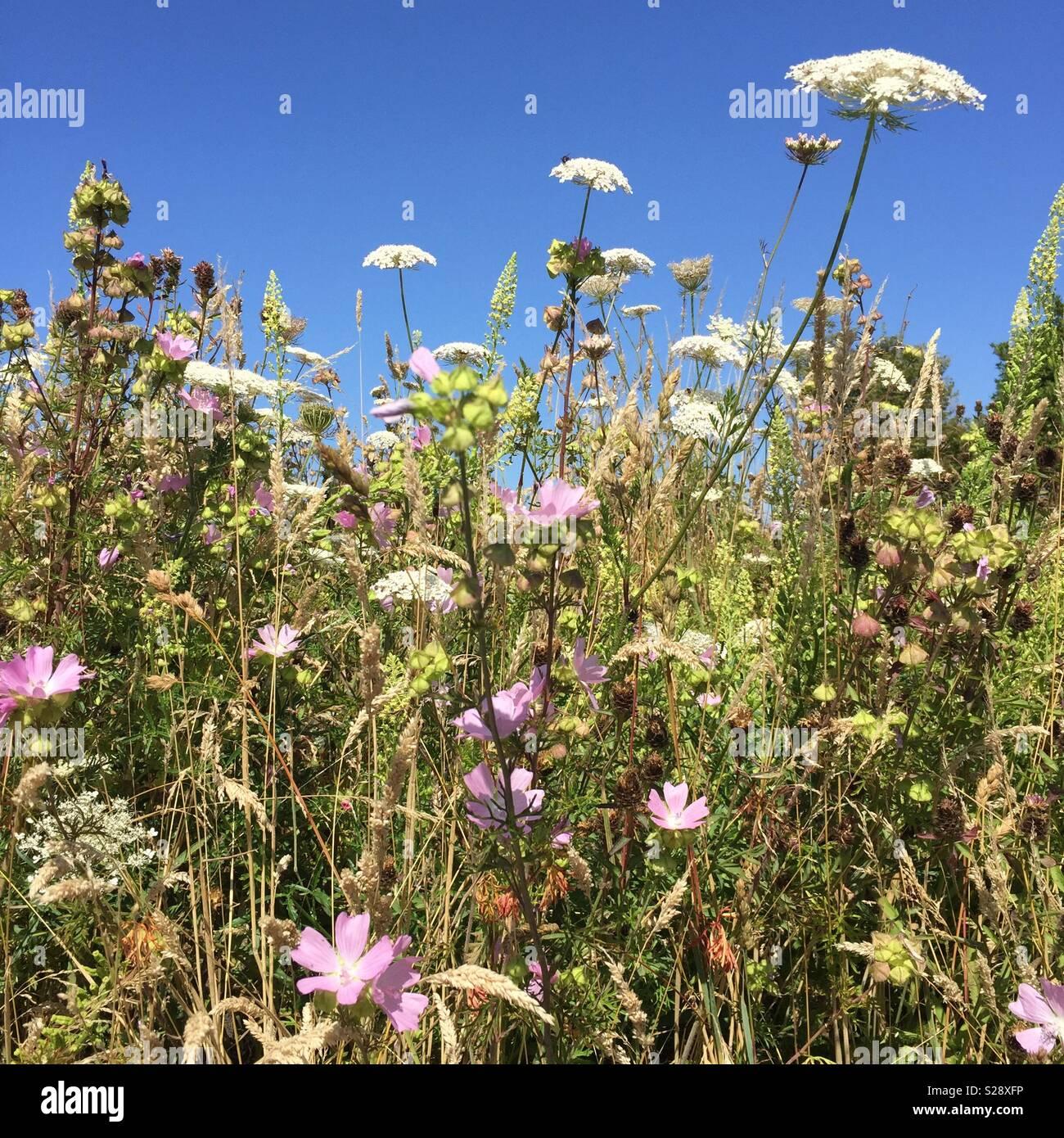 Wildflowers in Primrose nature reserve, Jarrow, Tyne and Wear. UK - Stock Image