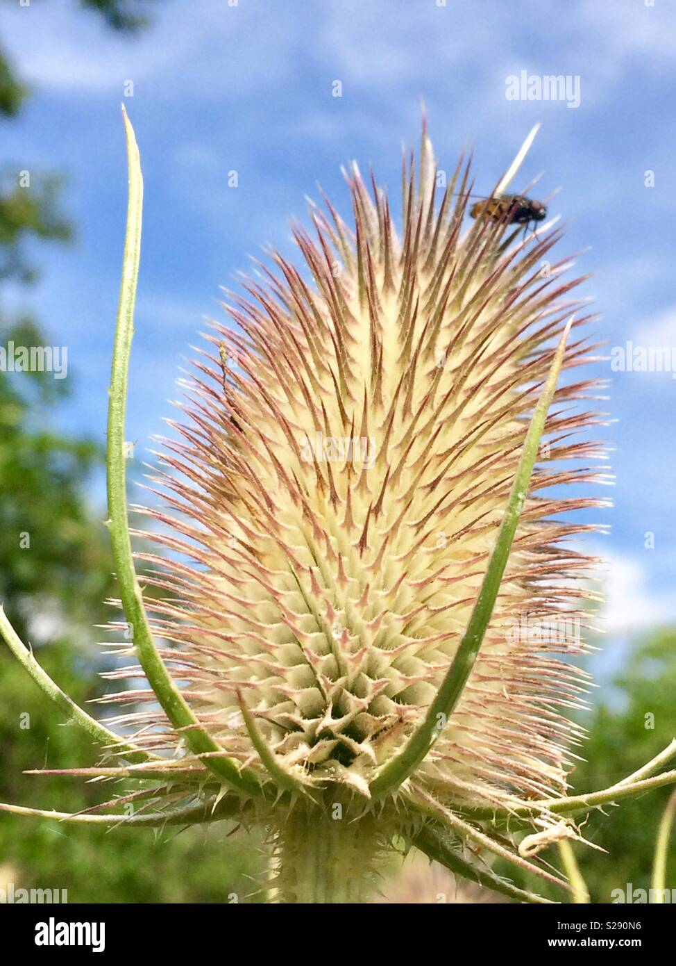Fly on teasel - Stock Image