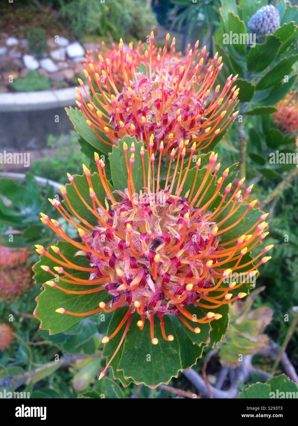 Portrait Of Pincushion Protea Flowers In Full Bloom On Plant During