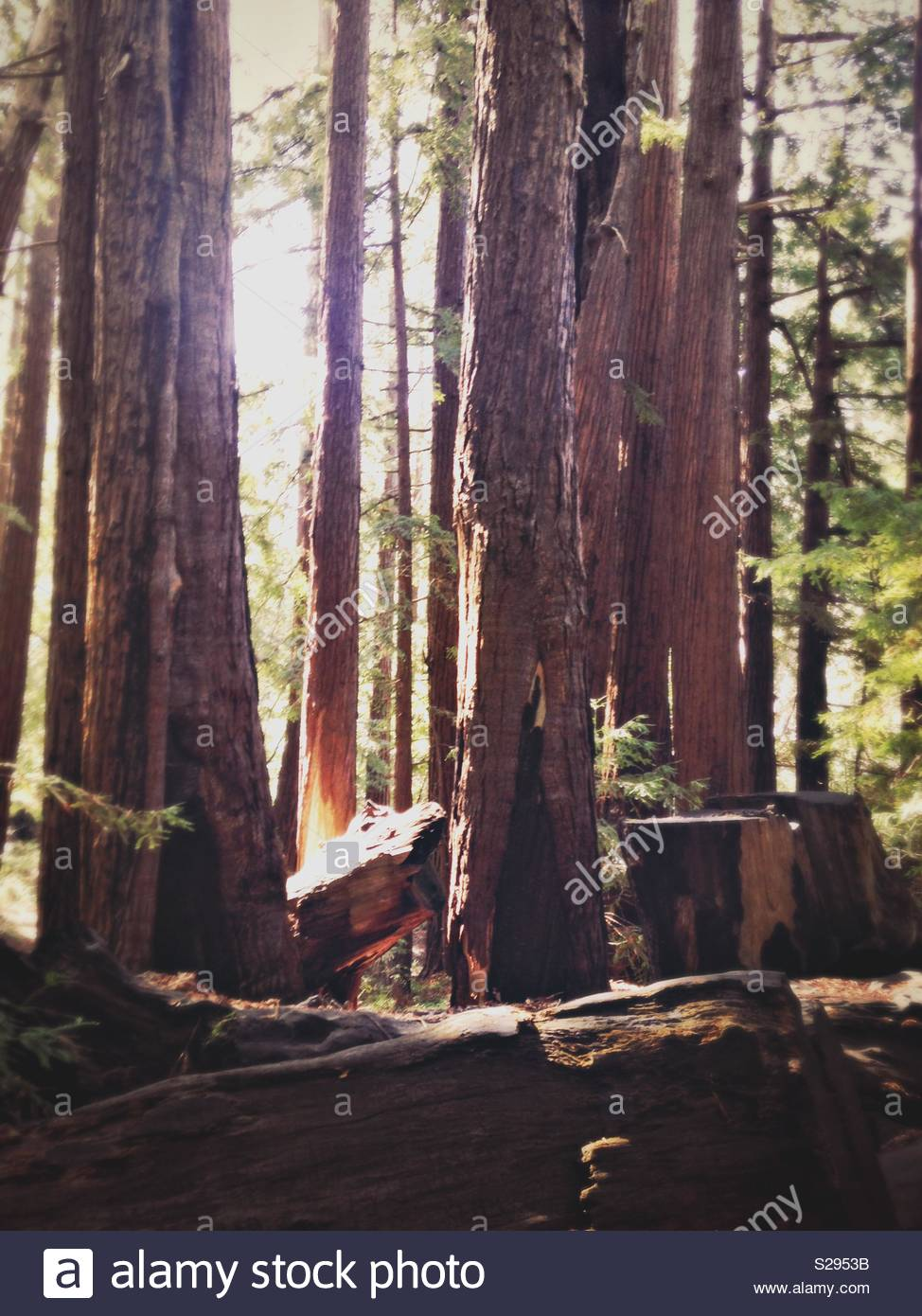 Redwoods of California - Stock Image