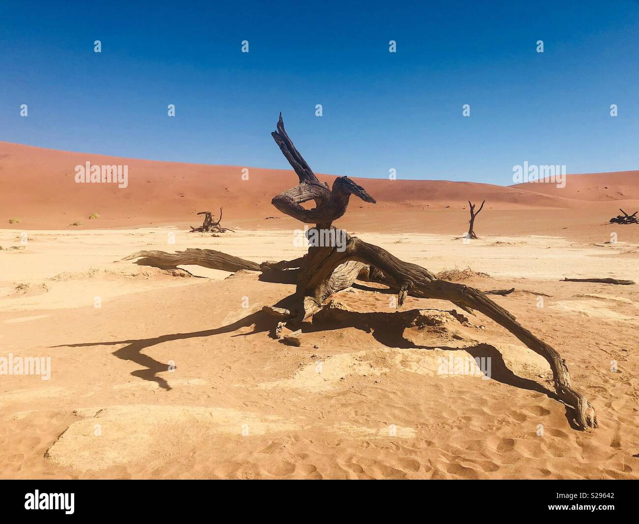 900 year old dead camelthorn trees in Deadvlei Sossusvlei Namibia. - Stock Image